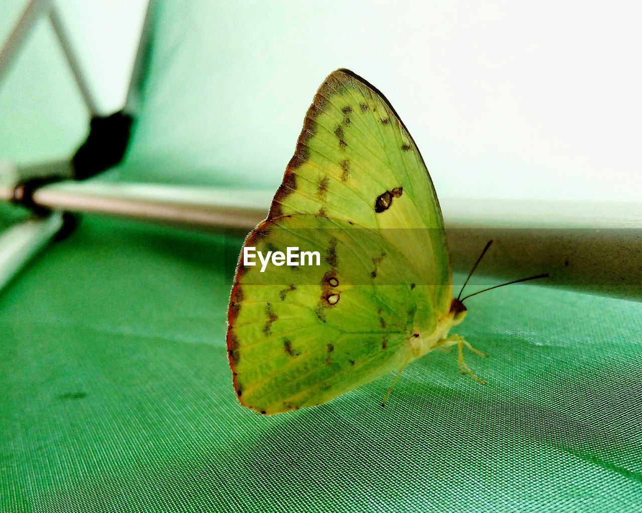 close-up, green color, plant part, insect, no people, leaf, invertebrate, animal wing, beauty in nature, focus on foreground, butterfly - insect, animal, nature, animal themes, animal wildlife, day, animals in the wild, one animal, selective focus, fruit, butterfly