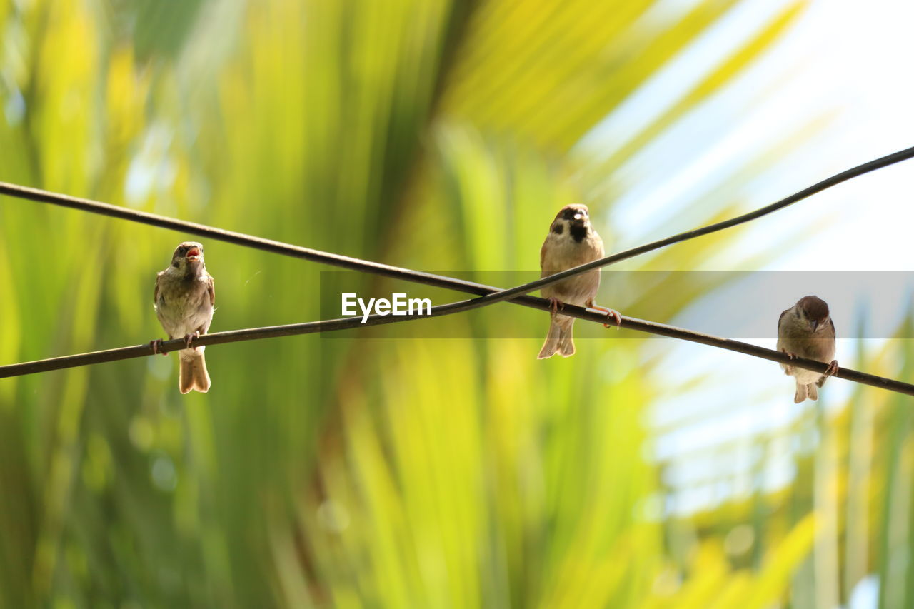 animal themes, vertebrate, bird, animal, animal wildlife, group of animals, animals in the wild, perching, focus on foreground, two animals, no people, day, green color, plant, sparrow, nature, selective focus, cable, outdoors, close-up, small