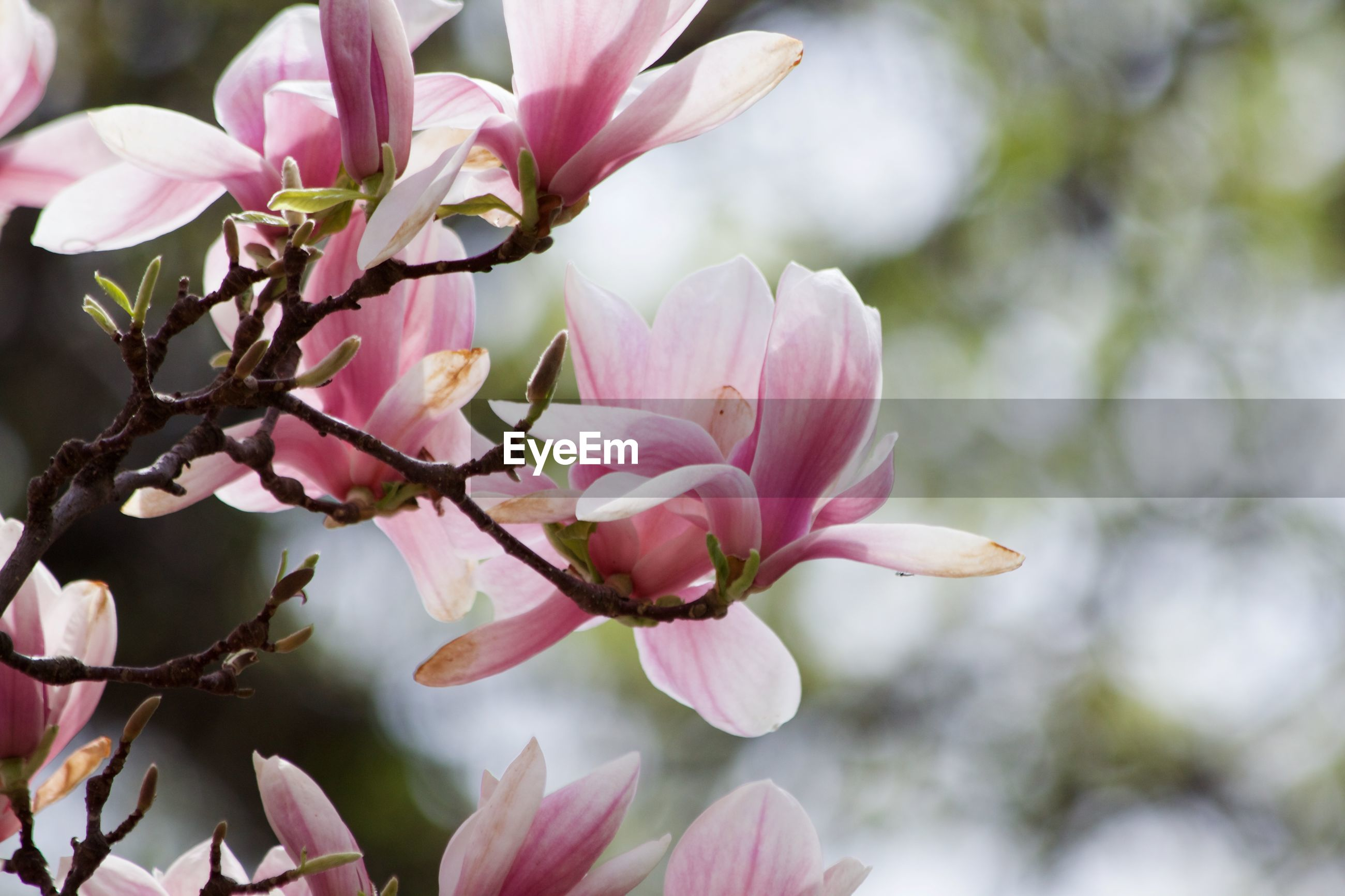 Close-up of pink magnolia flowers