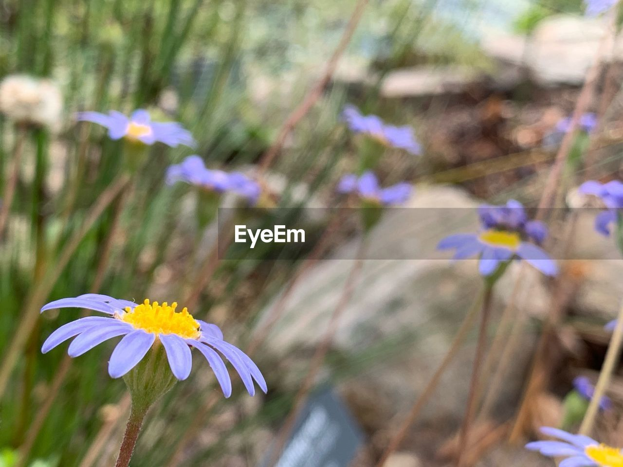 flowering plant, flower, freshness, plant, fragility, vulnerability, beauty in nature, growth, petal, close-up, focus on foreground, flower head, inflorescence, nature, day, no people, purple, botany, field, land, outdoors, pollen