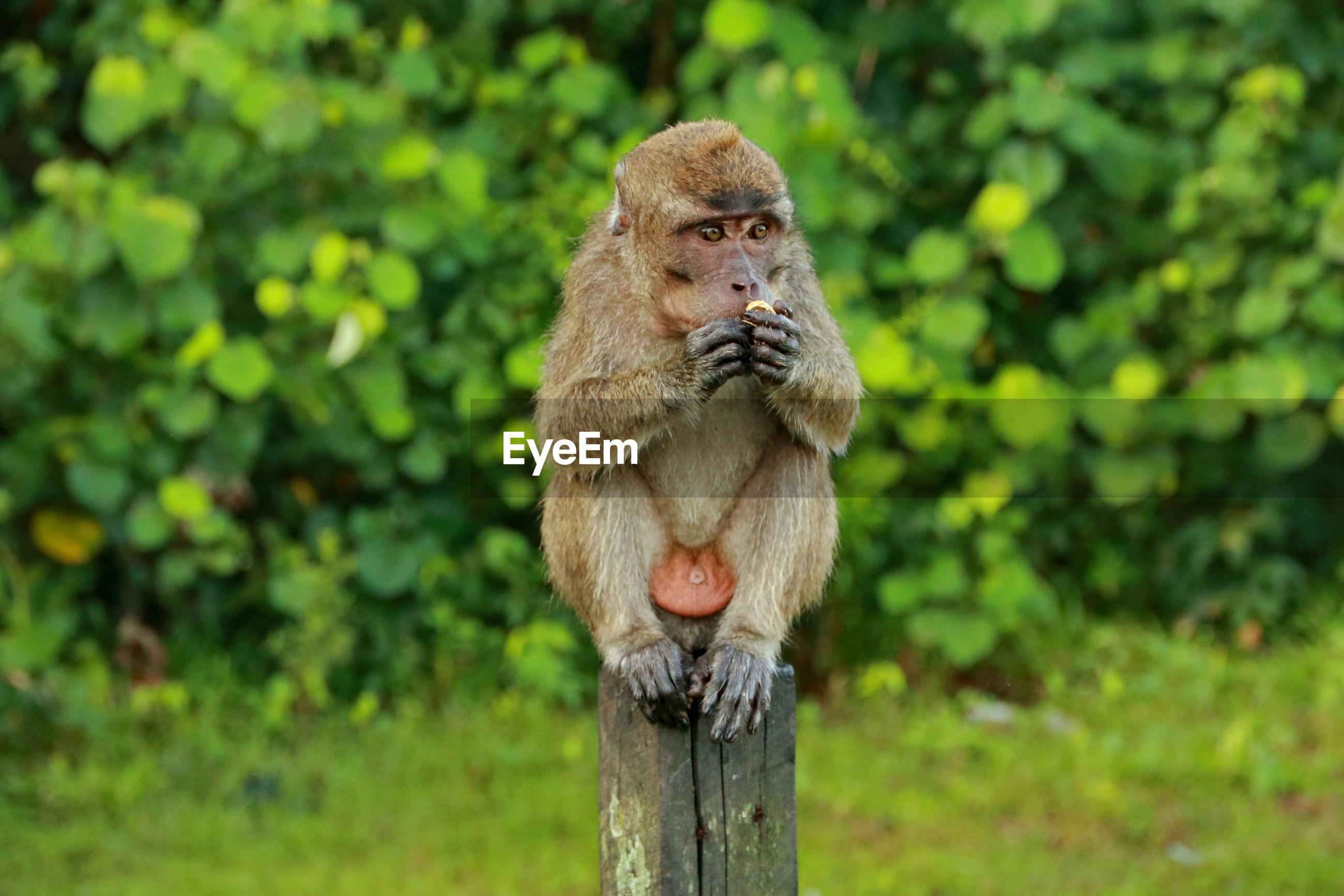 Jungle monkeys sit and eat on kembang island banjarmasin indonesia borneo island