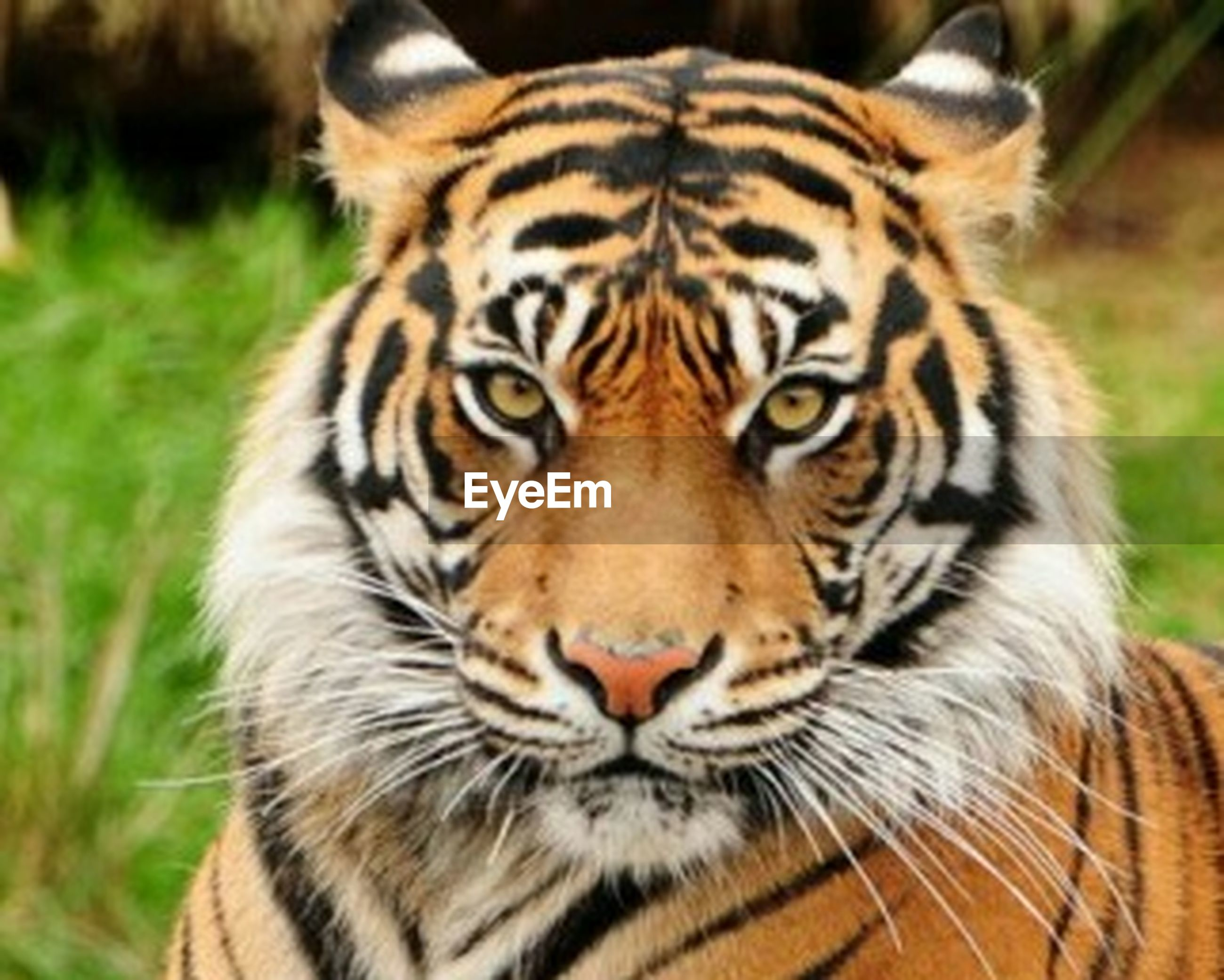 animal themes, one animal, animal markings, tiger, mammal, animals in the wild, wildlife, safari animals, undomesticated cat, focus on foreground, animal head, big cat, close-up, natural pattern, endangered species, leopard, whisker, looking at camera, portrait, zoo