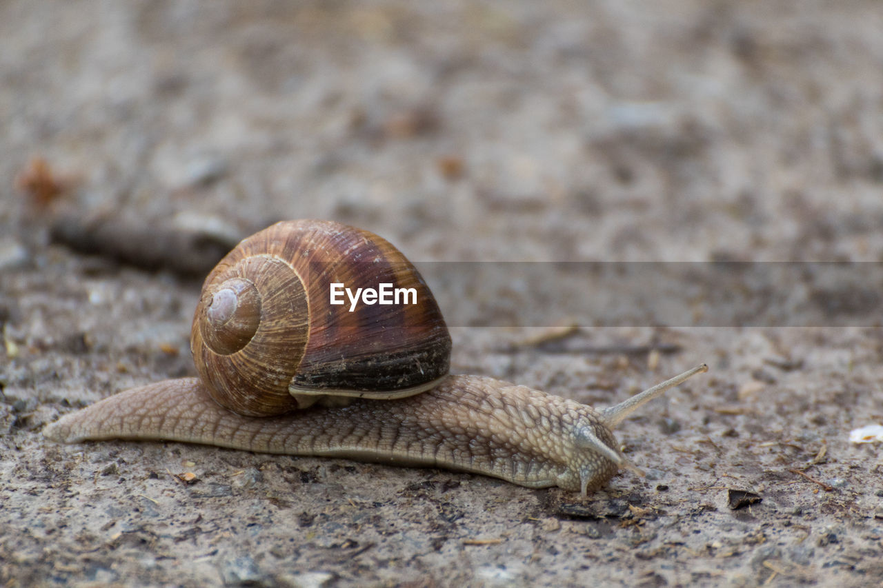 shell, animal, mollusk, invertebrate, animal wildlife, one animal, animal themes, animal shell, snail, gastropod, animals in the wild, day, close-up, animal body part, animal antenna, no people, nature, land, boredom, focus on foreground, outdoors, crawling, surface level