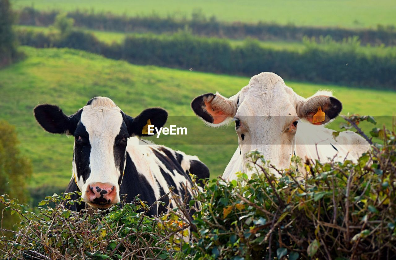 Close-Up Of Cows On Grassy Field