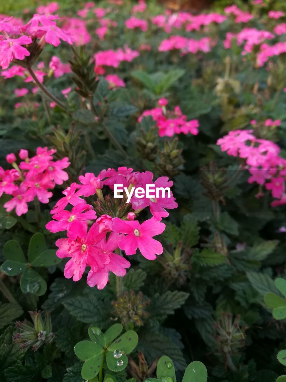 plant, growth, flower, beauty in nature, nature, petal, pink color, fragility, freshness, leaf, outdoors, flower head, no people, day, blooming, focus on foreground, close-up, lantana camara