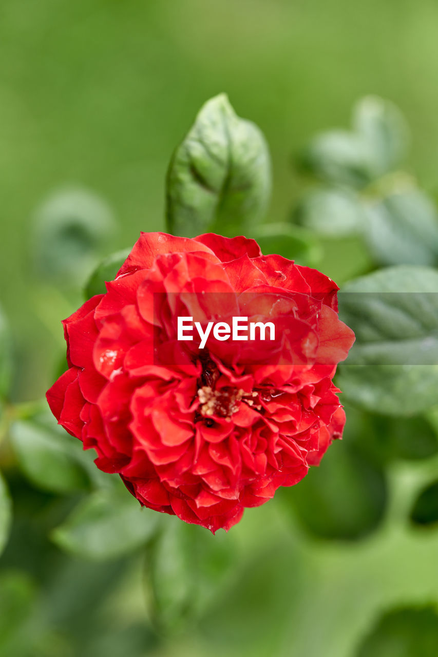 flower, red, vulnerability, beauty in nature, petal, fragility, close-up, plant, flowering plant, freshness, flower head, inflorescence, growth, focus on foreground, rose, no people, nature, rose - flower, green color