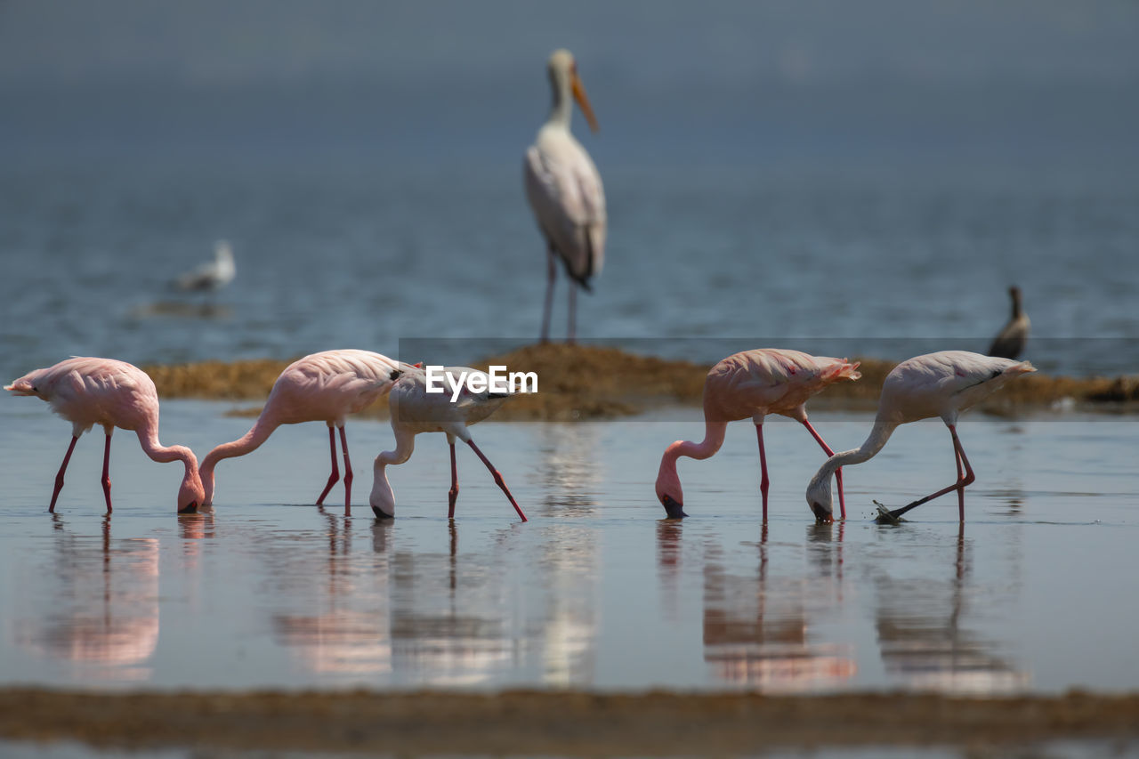 group of animals, bird, animals in the wild, animal wildlife, animal themes, water, animal, vertebrate, lake, no people, day, nature, flamingo, beauty in nature, large group of animals, selective focus, waterfront, reflection, outdoors, flock of birds