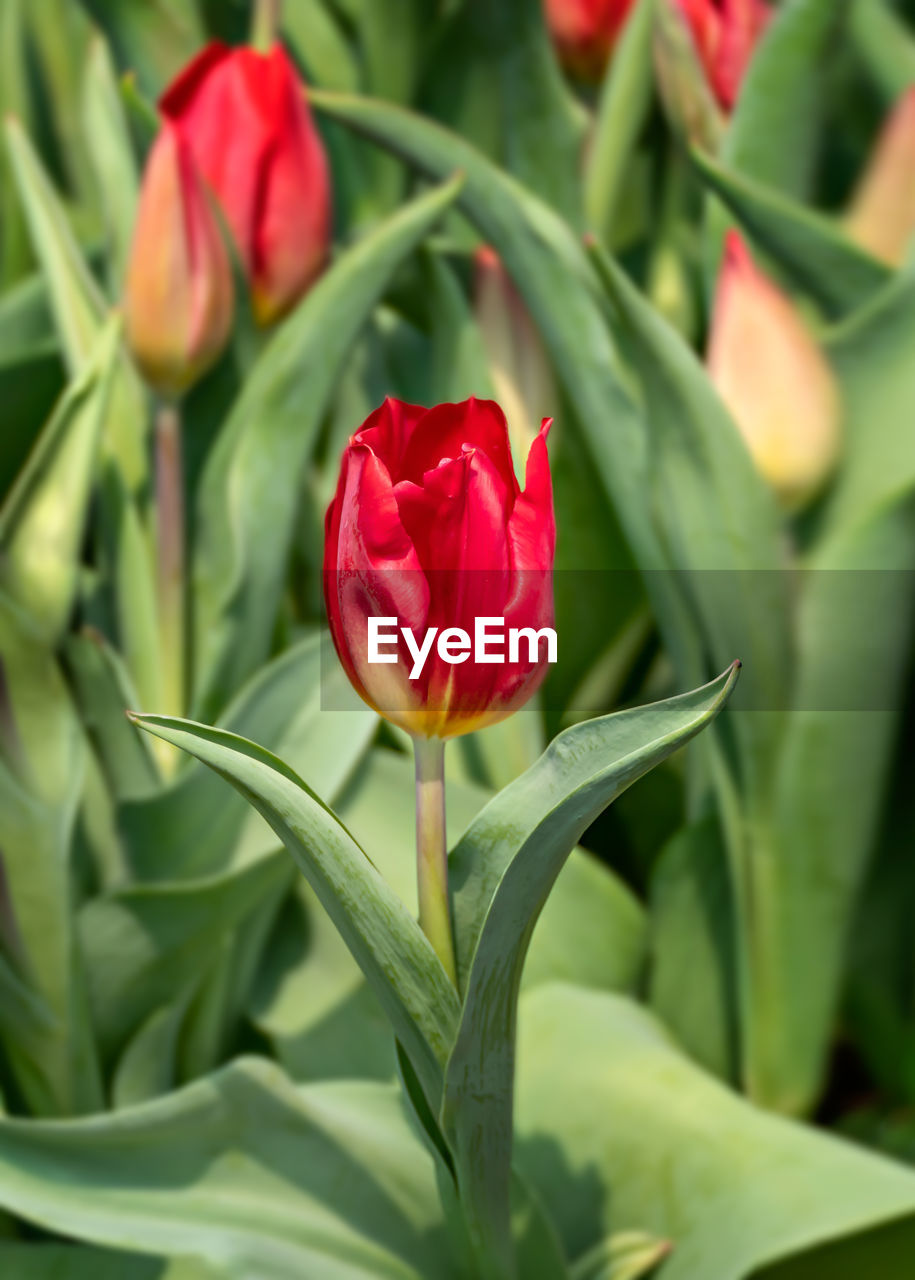 flowering plant, flower, plant, beauty in nature, freshness, fragility, vulnerability, petal, close-up, red, nature, growth, inflorescence, plant part, green color, flower head, leaf, no people, rose, rose - flower