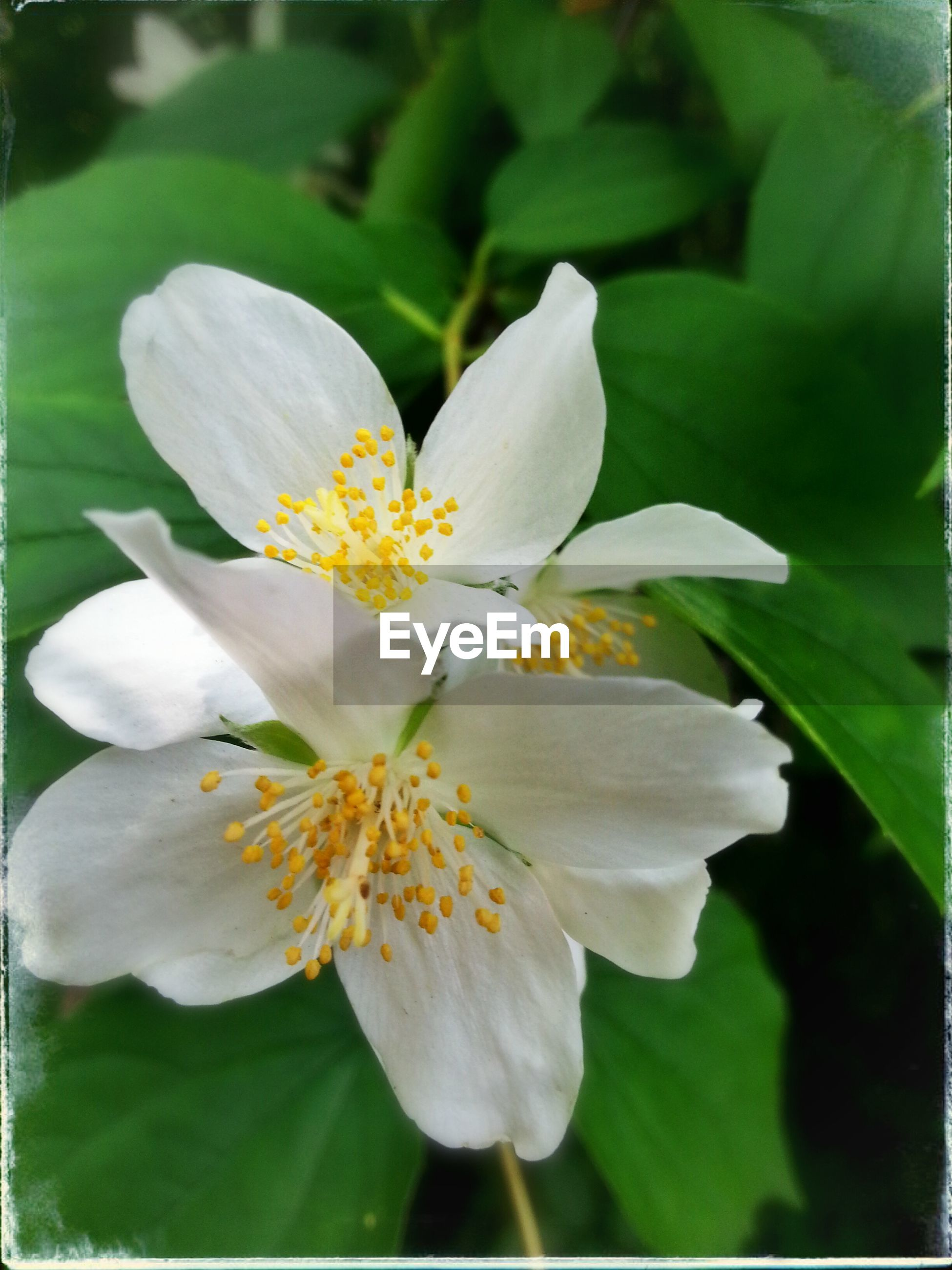 flower, petal, freshness, flower head, white color, fragility, growth, beauty in nature, close-up, blooming, pollen, focus on foreground, nature, stamen, white, plant, leaf, single flower, in bloom, outdoors