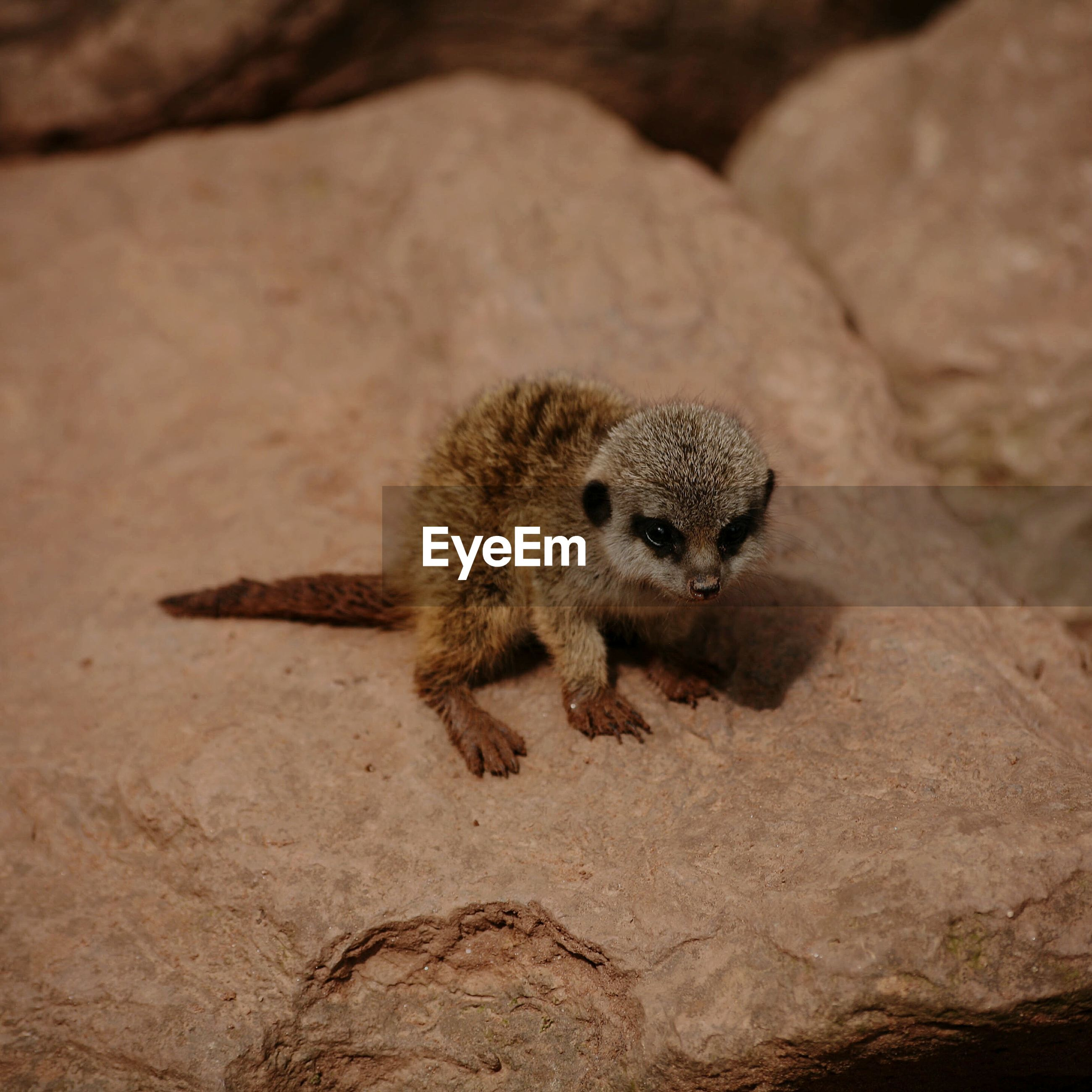 High angle view of young meerkat sitting on rock at dartmoor zoological park