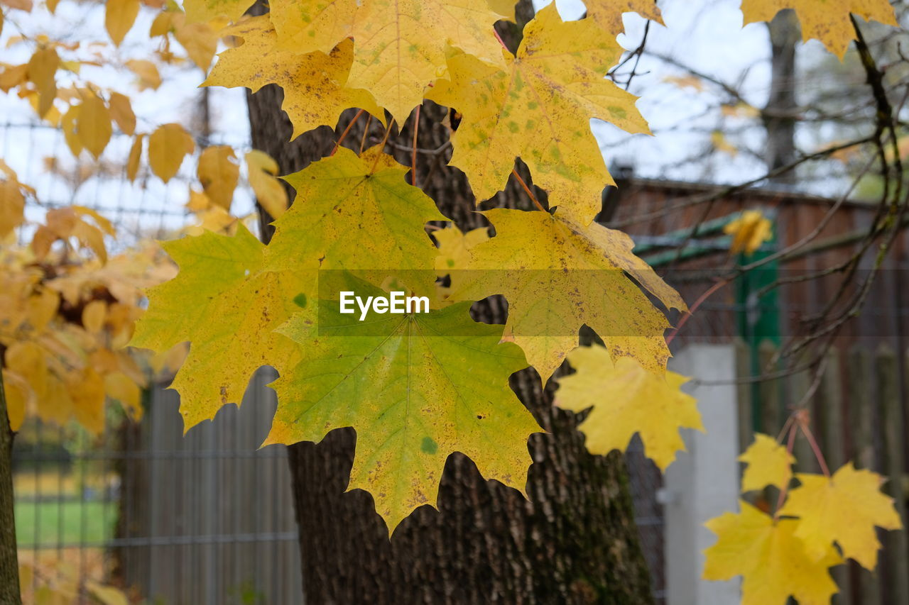 leaf, plant part, autumn, change, yellow, plant, nature, close-up, tree, day, focus on foreground, growth, no people, maple leaf, beauty in nature, branch, outdoors, architecture, leaves, built structure, autumn collection, fall