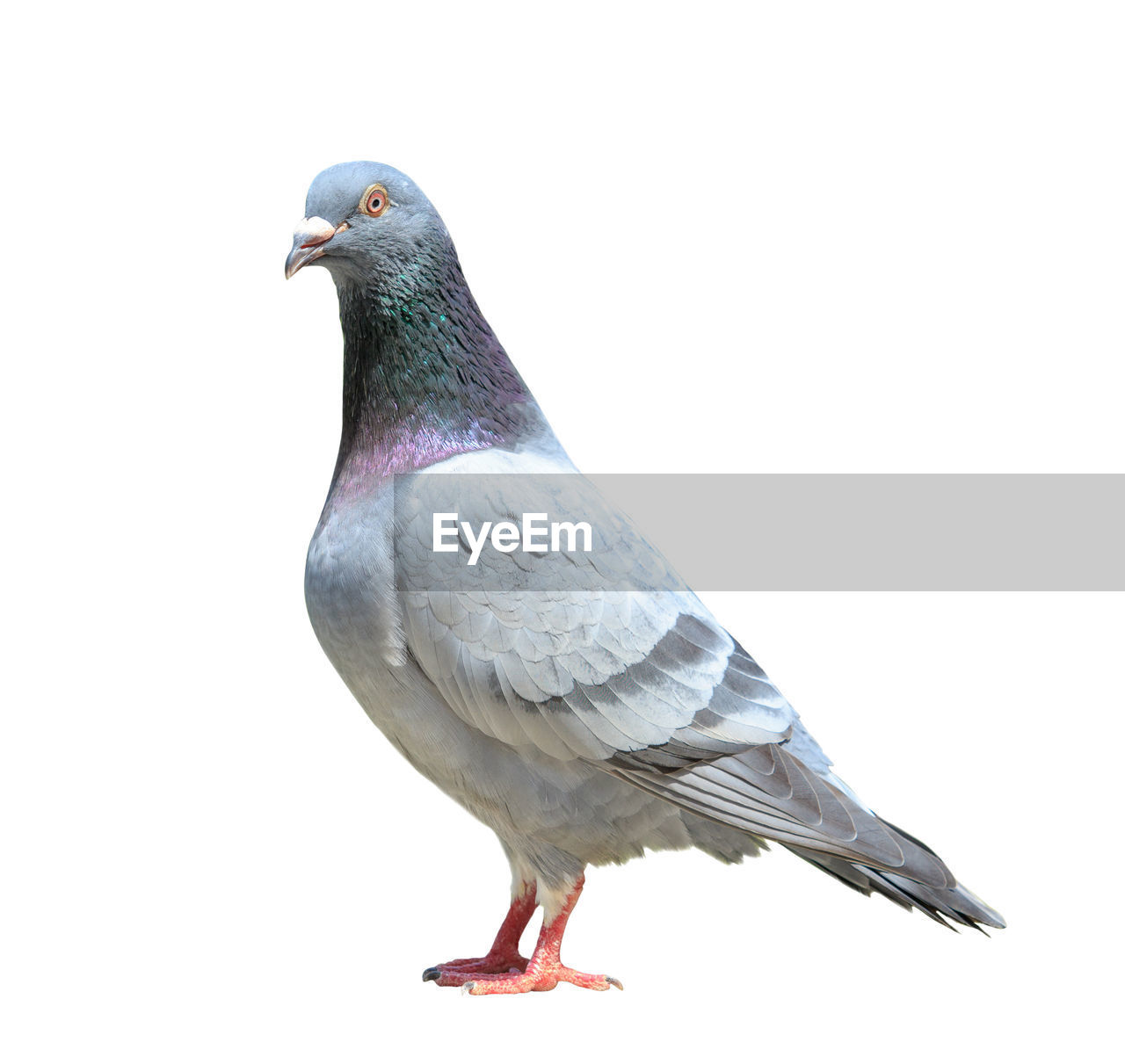 bird, vertebrate, animal, animals in the wild, animal themes, animal wildlife, one animal, pigeon, no people, perching, close-up, copy space, studio shot, day, nature, full length, side view, looking away, white background, looking, seagull