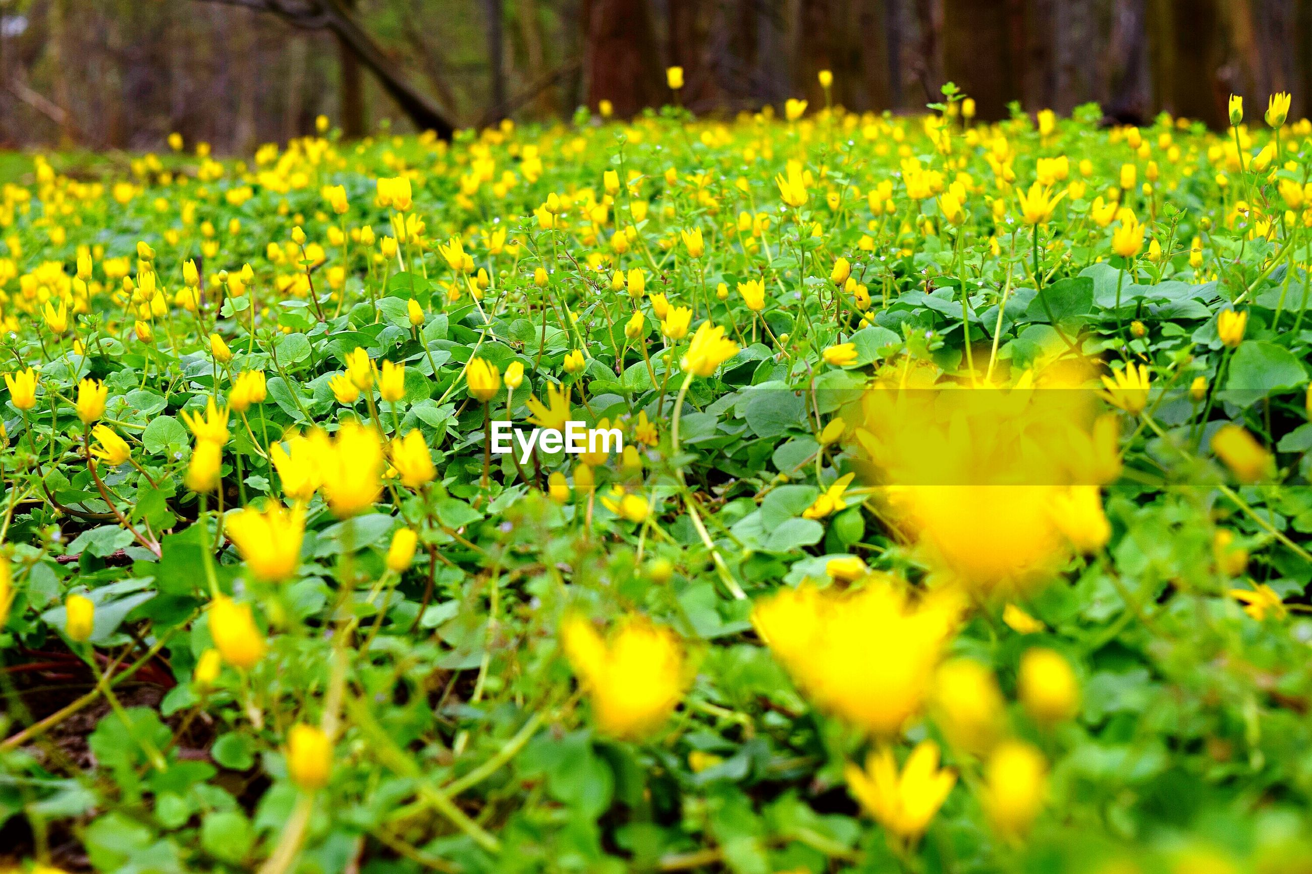 flower, yellow, freshness, growth, fragility, beauty in nature, field, nature, petal, abundance, blooming, plant, blossom, in bloom, flower head, selective focus, botany, springtime, green color, tranquility