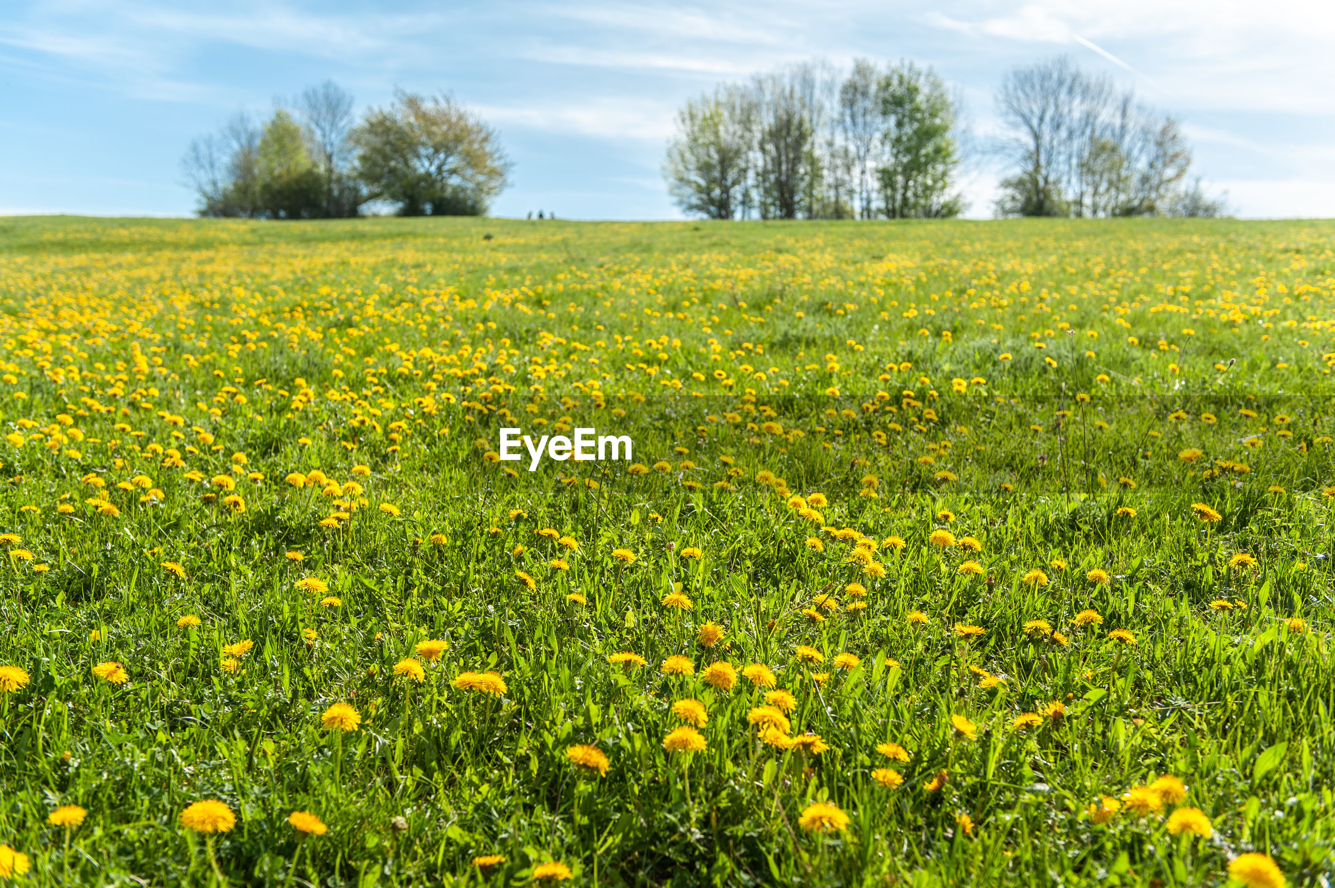 SCENIC VIEW OF YELLOW FLOWERING PLANTS ON FIELD