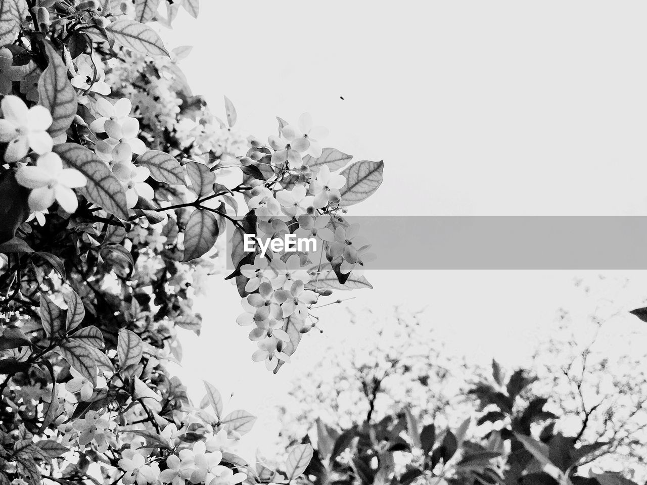 plant, flowering plant, flower, growth, beauty in nature, fragility, tree, vulnerability, sky, nature, freshness, branch, blossom, low angle view, day, no people, clear sky, close-up, outdoors, springtime, flower head, cherry blossom, cherry tree, bunch of flowers, spring