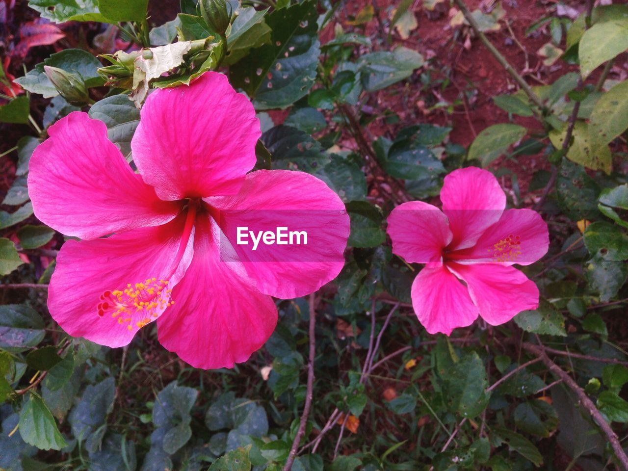 flower, petal, growth, fragility, flower head, nature, blooming, beauty in nature, plant, pink color, freshness, day, outdoors, no people, close-up, periwinkle, petunia, hibiscus