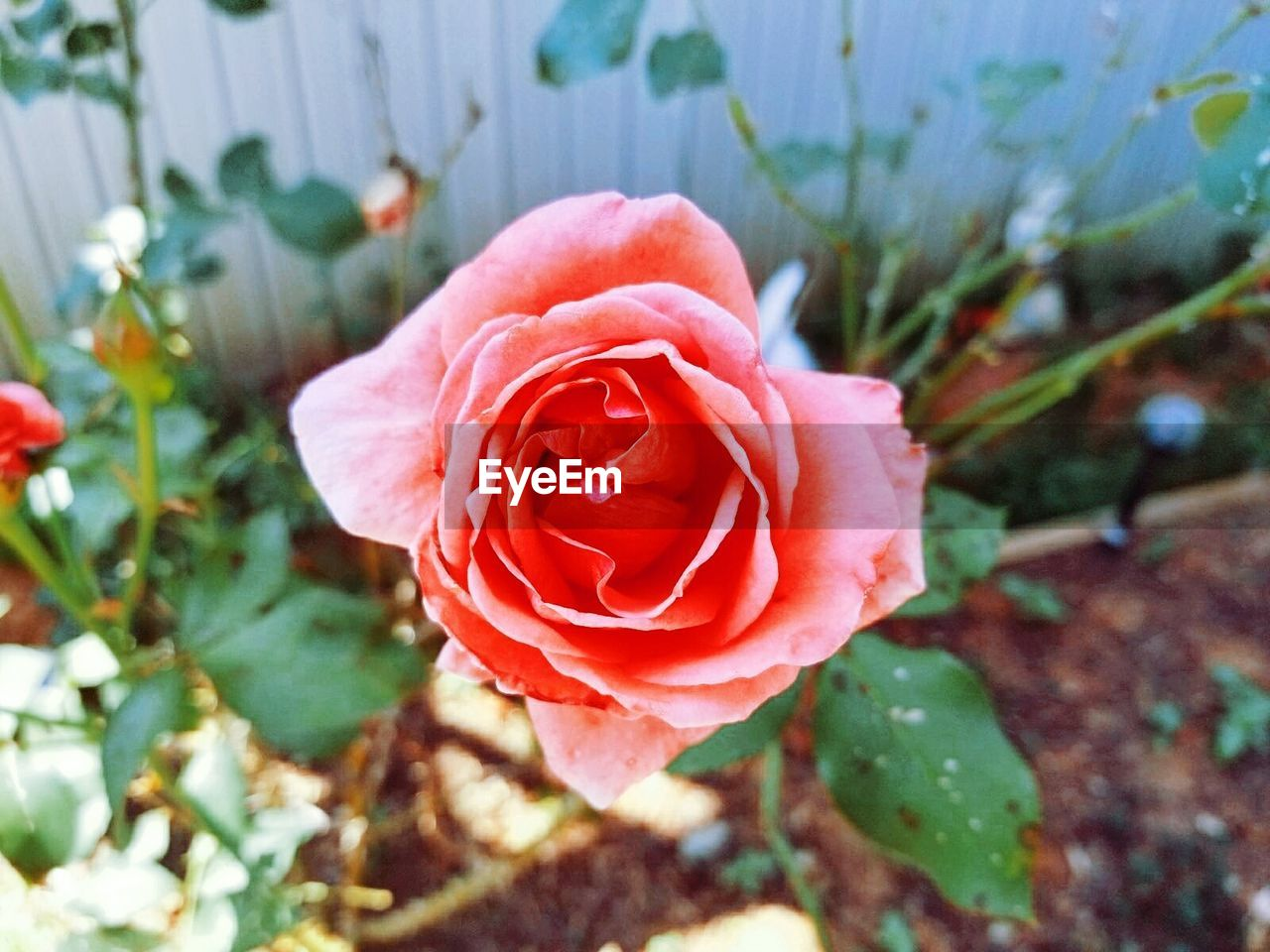 flower, petal, nature, rose - flower, fragility, flower head, growth, beauty in nature, plant, close-up, freshness, focus on foreground, no people, day, outdoors, blooming