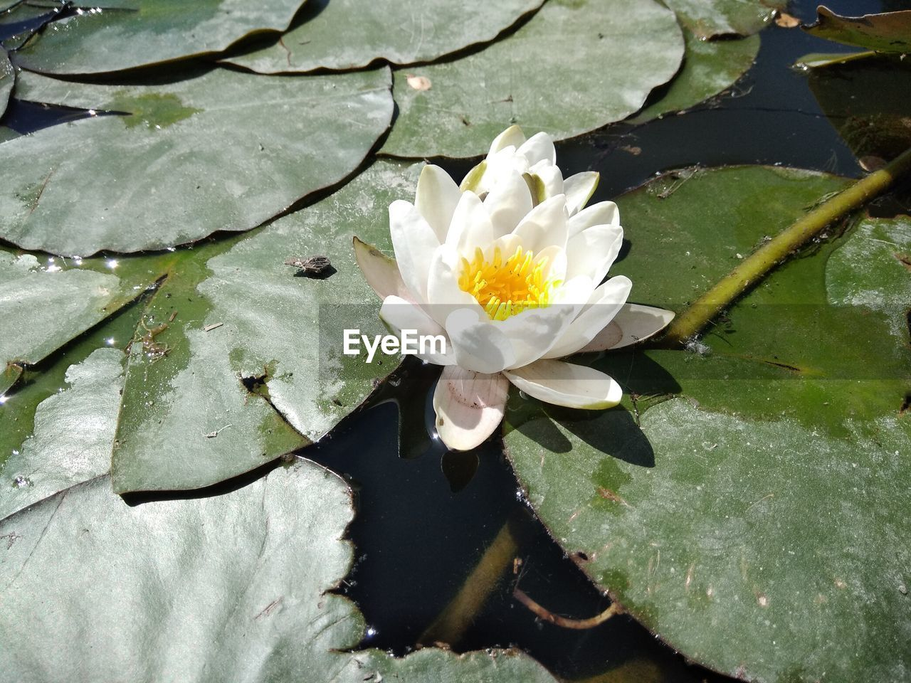 flower, flowering plant, plant, beauty in nature, leaf, freshness, vulnerability, fragility, water, plant part, growth, lake, petal, nature, white color, flower head, inflorescence, close-up, floating on water, no people, pollen, outdoors, leaves