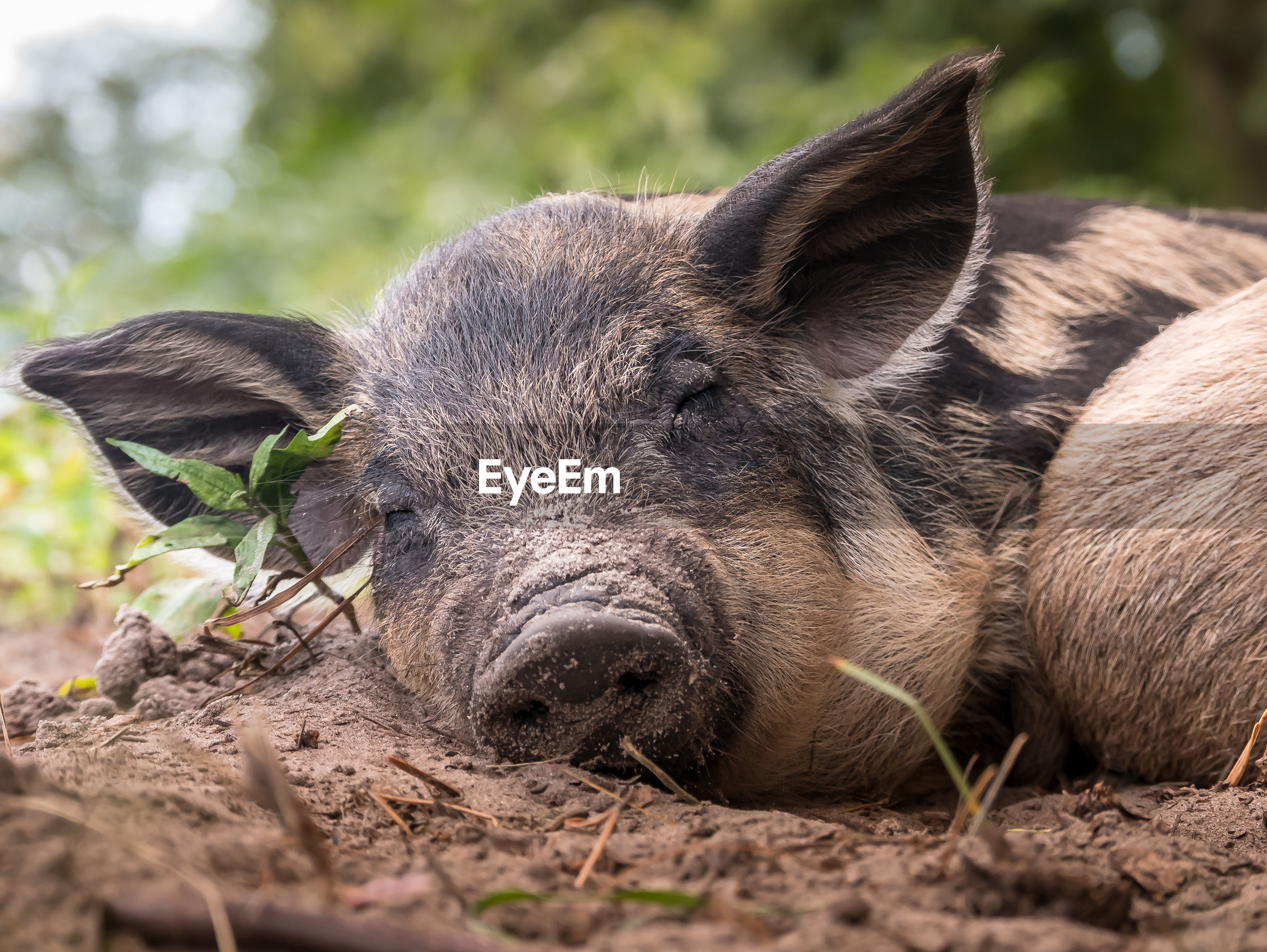 Pig relaxing on land
