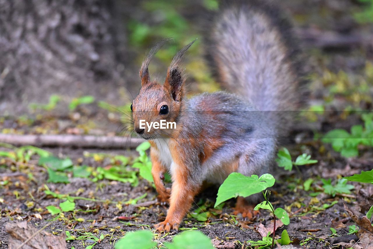 animal themes, animal, animal wildlife, mammal, one animal, rodent, animals in the wild, land, no people, field, nature, squirrel, focus on foreground, day, close-up, vertebrate, plant part, leaf, looking at camera, outdoors, whisker