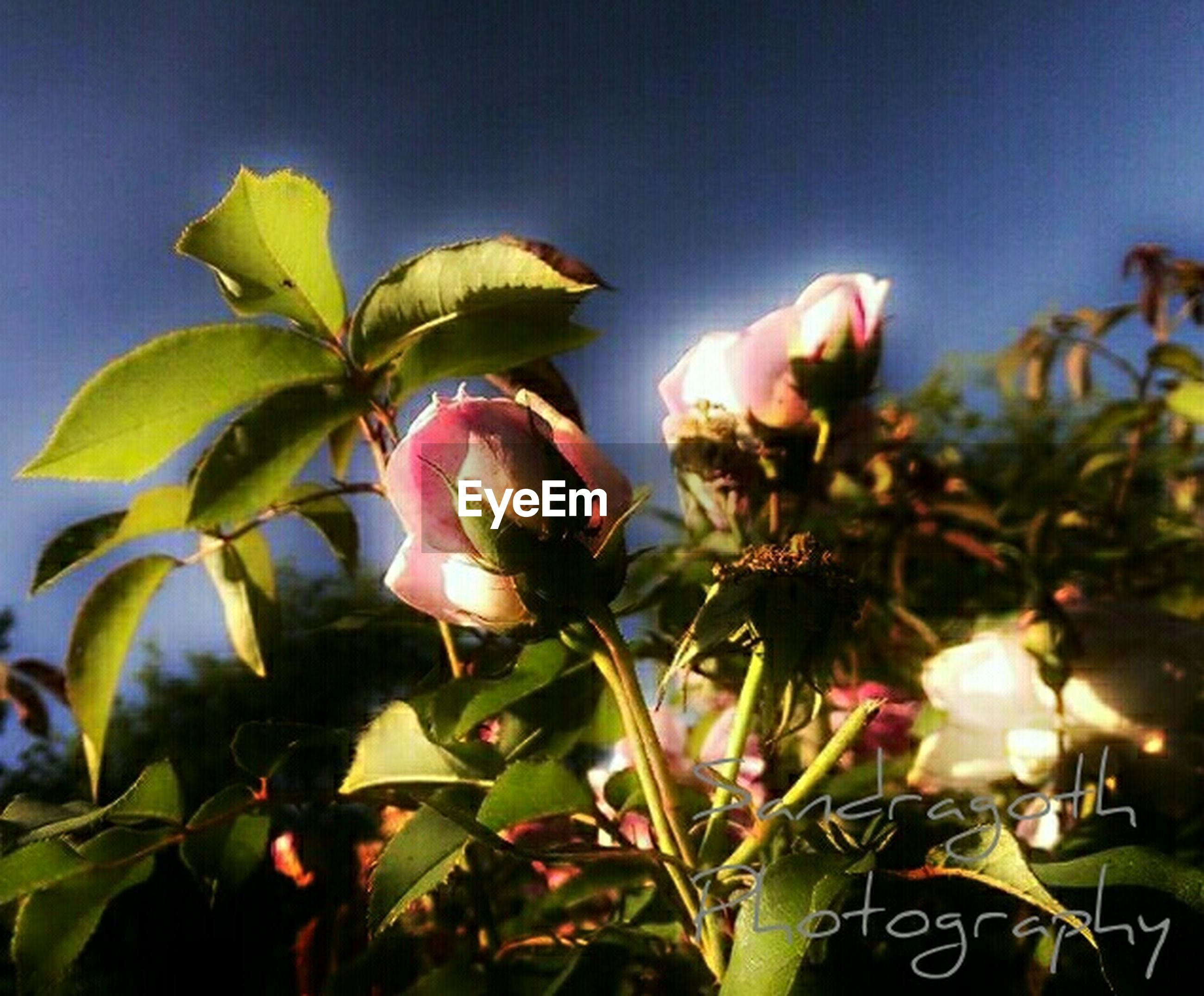 flower, growth, freshness, leaf, plant, fragility, petal, beauty in nature, flower head, nature, stem, close-up, blooming, bud, low angle view, pink color, in bloom, focus on foreground, sky, blue