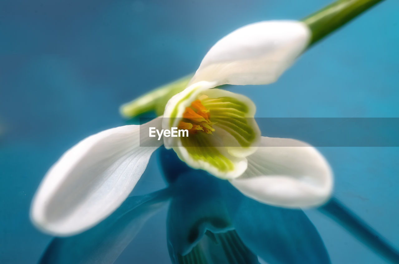 Close-up of white flower against turquoise background