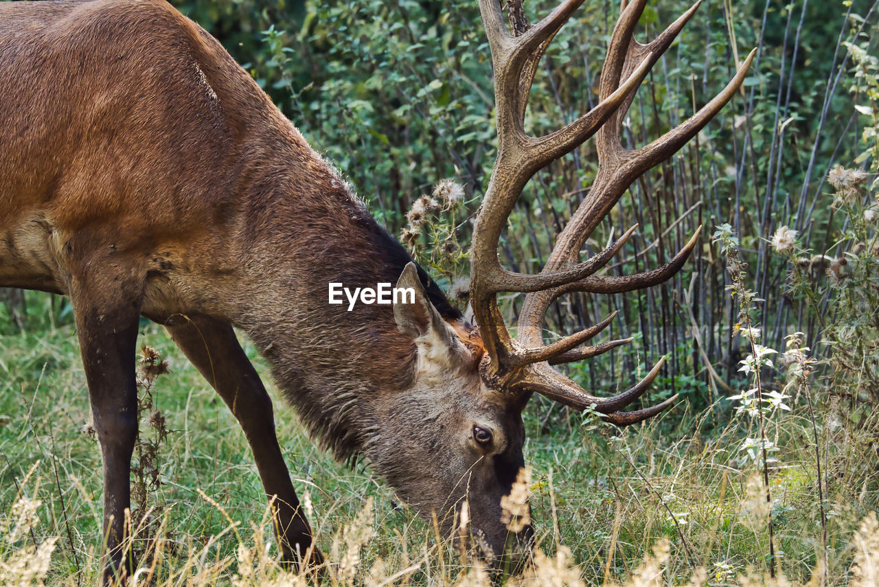 animal themes, animal, mammal, animal wildlife, one animal, animals in the wild, land, field, deer, antler, plant, vertebrate, nature, no people, domestic animals, horned, tree, brown, day, herbivorous, outdoors