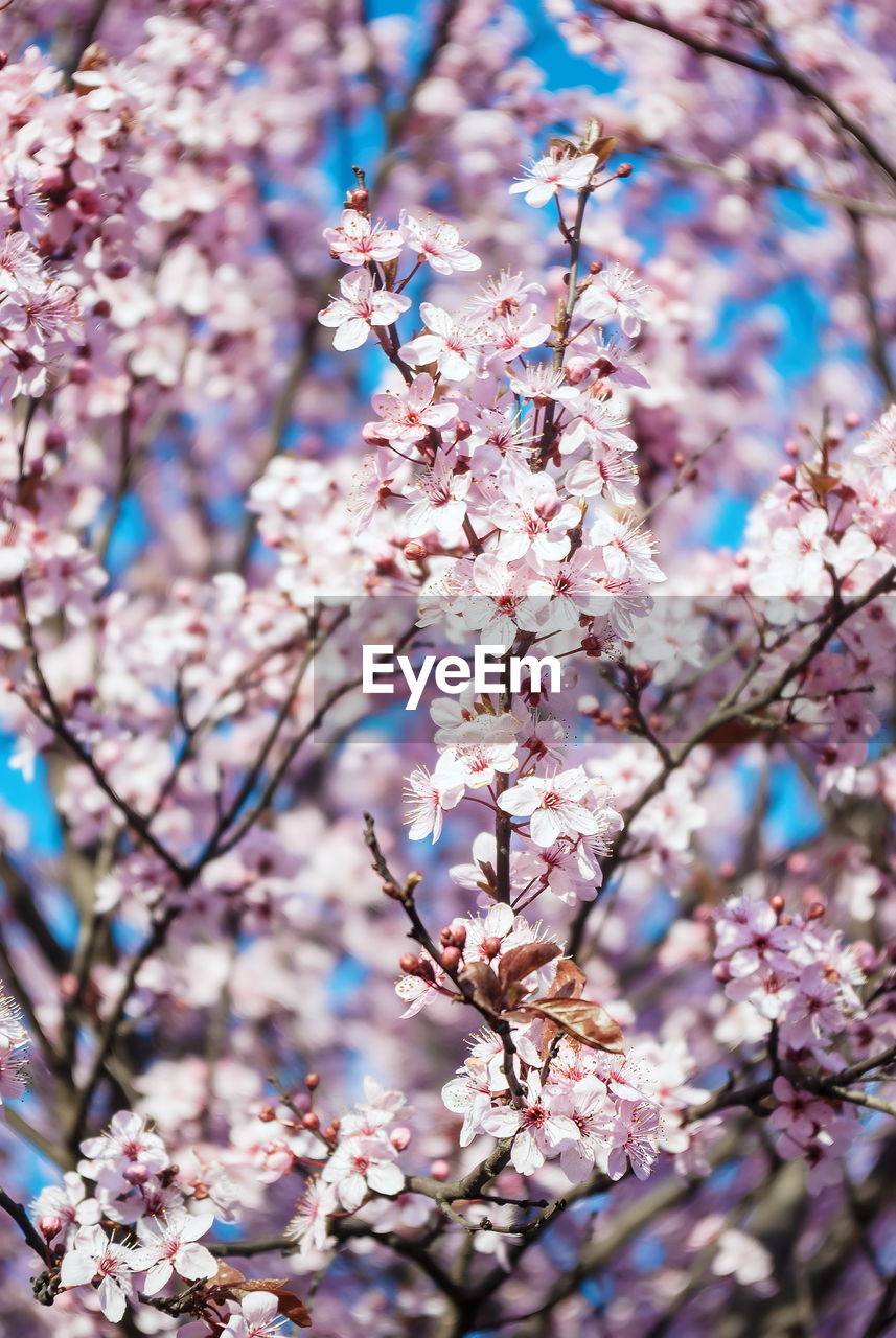 flowering plant, plant, tree, flower, fragility, blossom, growth, branch, beauty in nature, freshness, vulnerability, springtime, pink color, low angle view, day, no people, nature, close-up, cherry blossom, cherry tree, outdoors, spring, flower head