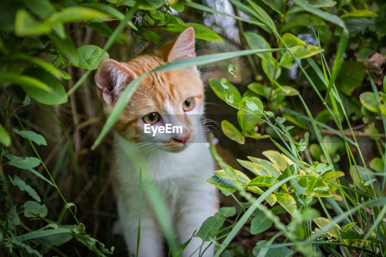 animal themes, one animal, mammal, animal, cat, domestic animals, domestic cat, domestic, feline, pets, plant, vertebrate, leaf, plant part, green color, nature, portrait, no people, looking at camera, day, whisker, outdoors, animal head, ginger cat