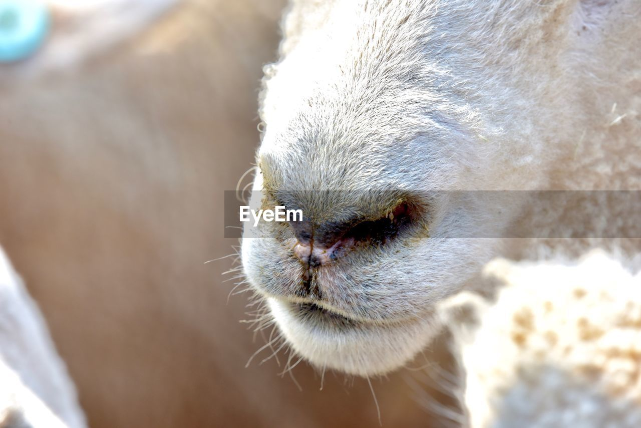 mammal, animal, animal themes, one animal, vertebrate, domestic animals, pets, livestock, close-up, domestic, animal body part, animal wildlife, no people, animal head, focus on foreground, day, animal nose, nose, herbivorous, outdoors, snout, animal mouth, whisker
