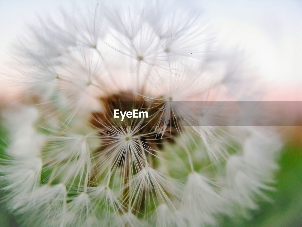 flower, dandelion, fragility, dandelion seed, white color, flower head, freshness, softness, nature, growth, close-up, selective focus, beauty in nature, blossom, petal, plant, uncultivated, no people, seed, springtime, day, outdoors