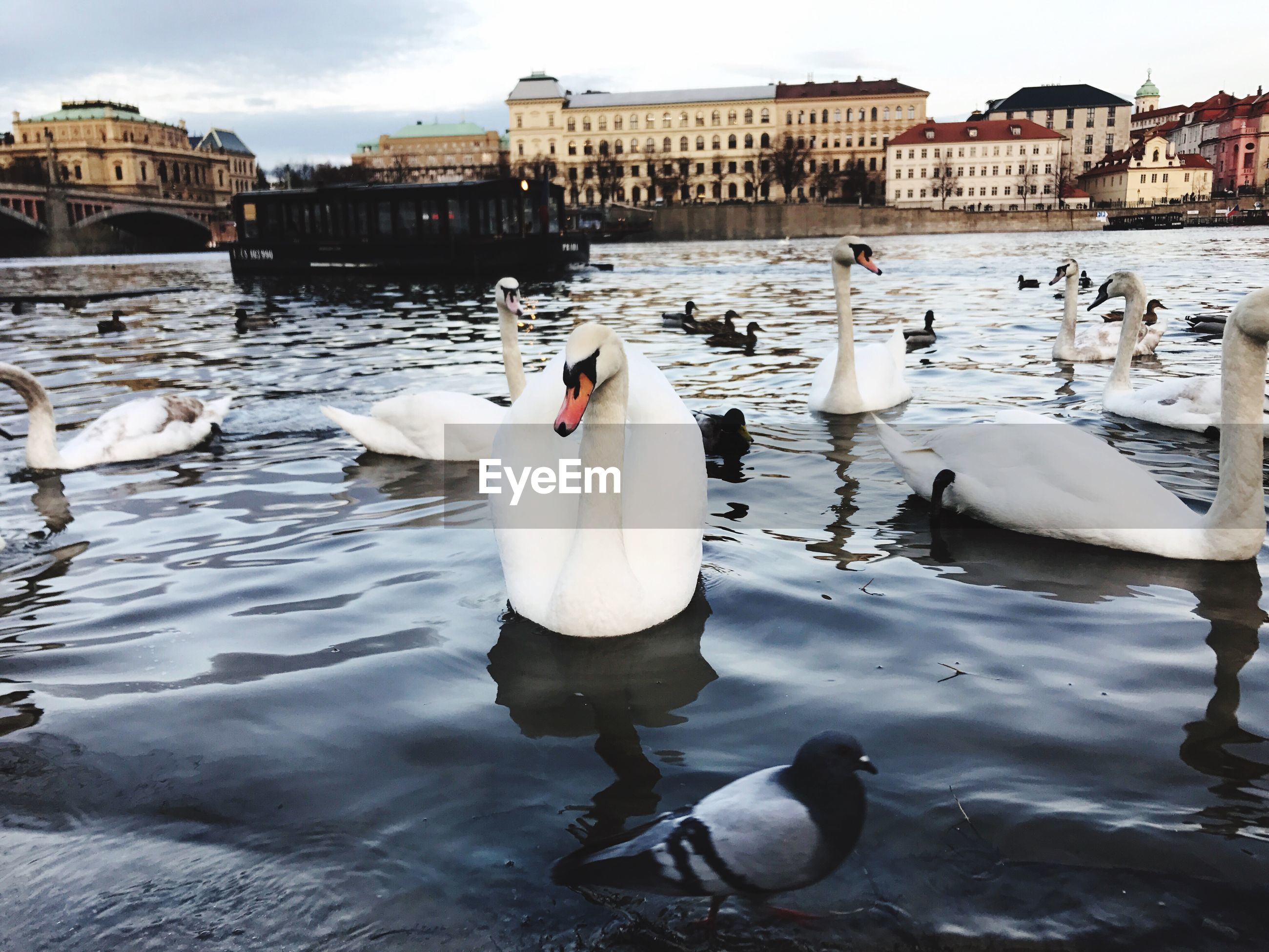 bird, swan, water, animal themes, animals in the wild, sky, outdoors, swimming, large group of animals, nature, architecture, day, no people