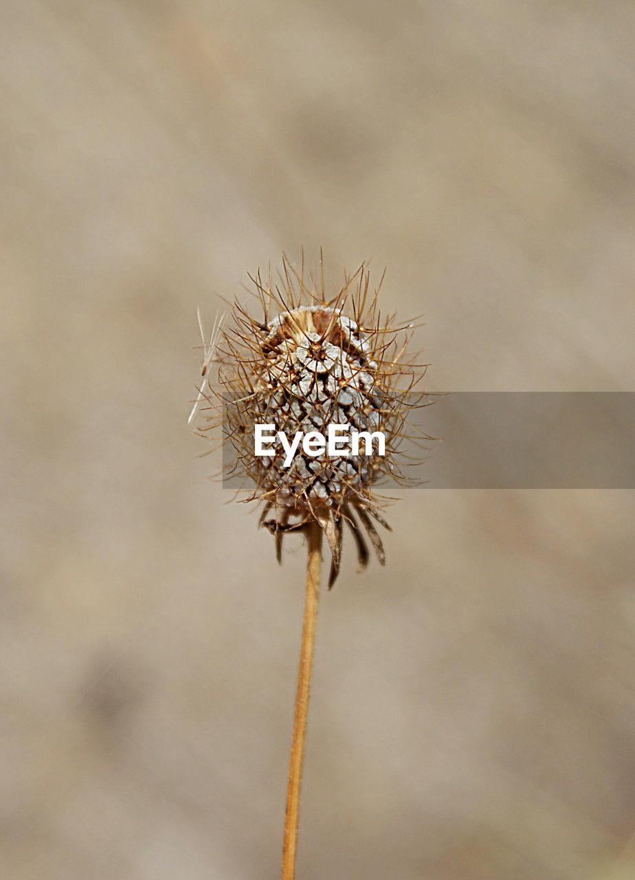 nature, dry, seed, plant, close-up, growth, fragility, day, thistle, outdoors, no people, flower, flower head, beauty in nature, freshness