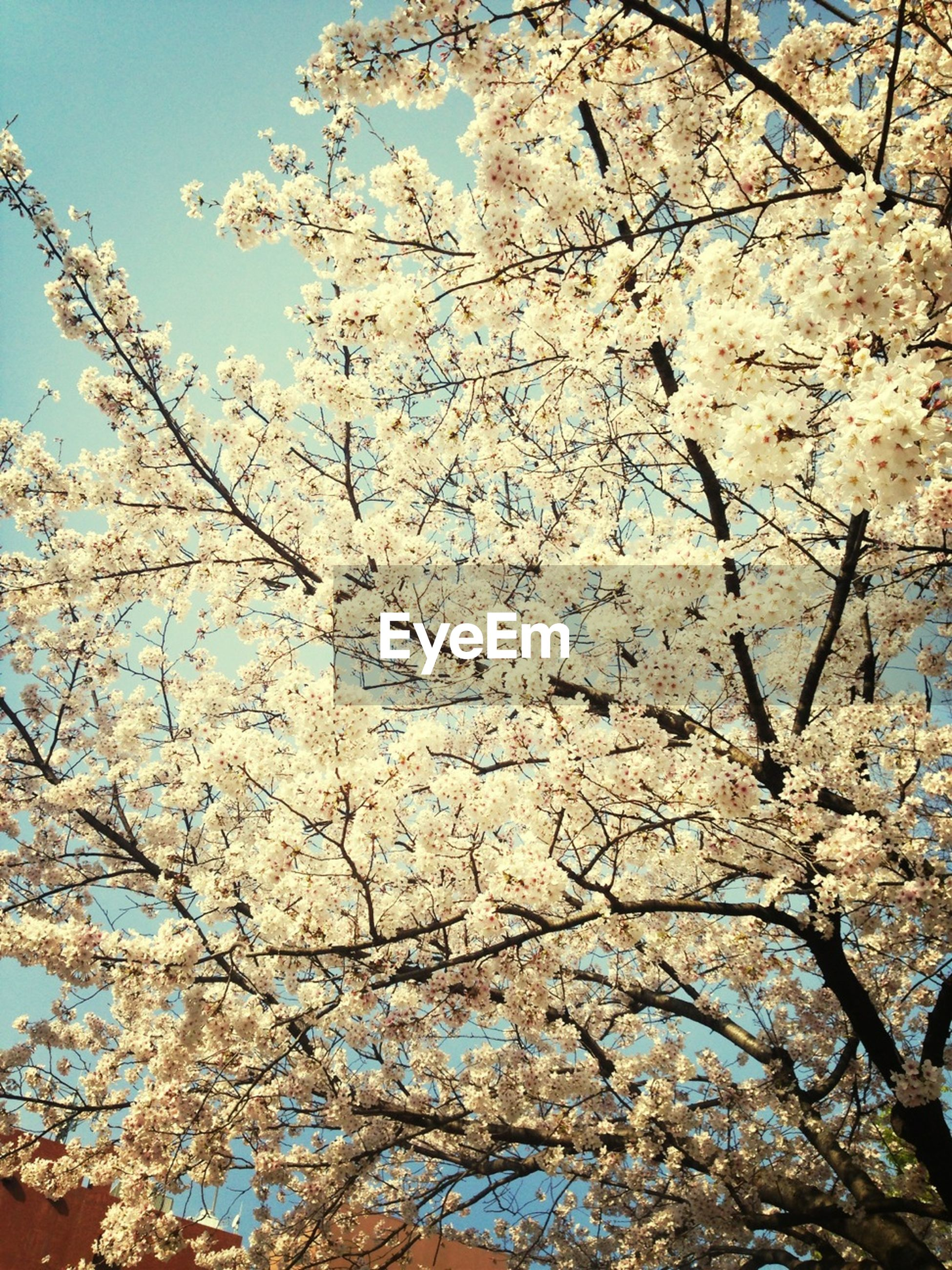 flower, low angle view, branch, cherry blossom, tree, freshness, fragility, cherry tree, blossom, growth, white color, nature, beauty in nature, clear sky, springtime, blooming, fruit tree, in bloom, sky, day