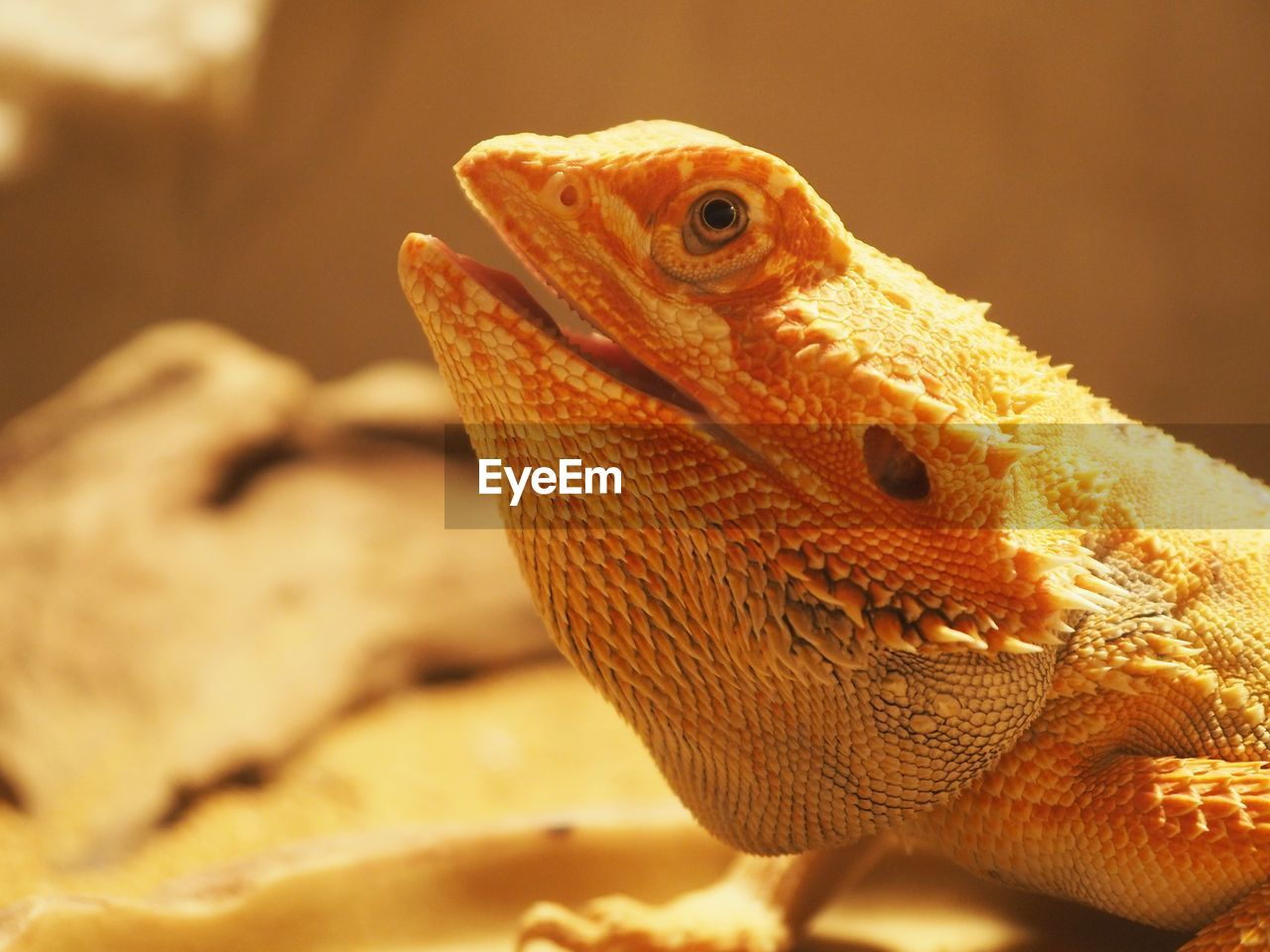 reptile, animal, animal themes, vertebrate, lizard, one animal, close-up, bearded dragon, animal wildlife, animals in the wild, animal body part, no people, animal head, focus on foreground, nature, outdoors, day, selective focus, looking, animal scale, animal eye