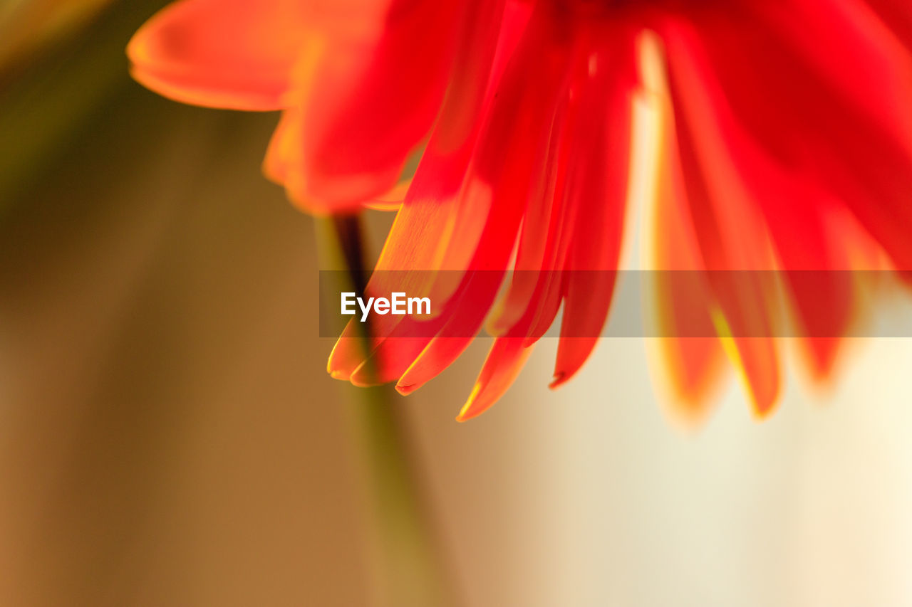 flowering plant, flower, petal, vulnerability, fragility, beauty in nature, plant, freshness, close-up, growth, flower head, inflorescence, red, orange color, no people, selective focus, focus on foreground, nature, day, sepal