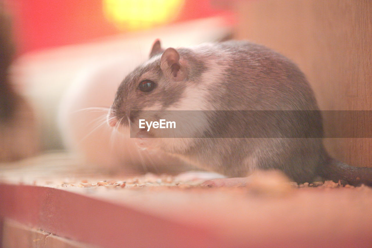 animal, mammal, animal themes, one animal, rodent, animal wildlife, close-up, selective focus, no people, vertebrate, pets, domestic, indoors, animals in the wild, domestic animals, hamster, day, looking, portrait, whisker