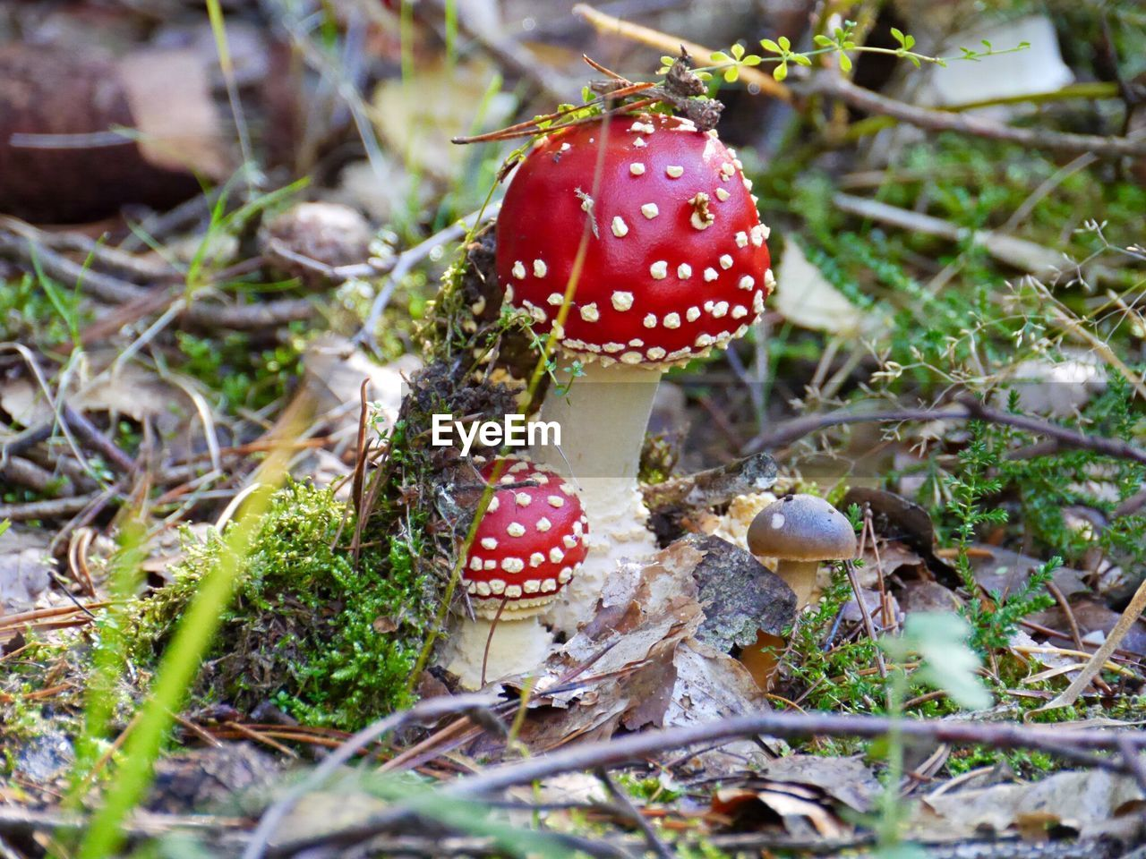 Close-Up Of Fly Agaric Mushrooms On Field