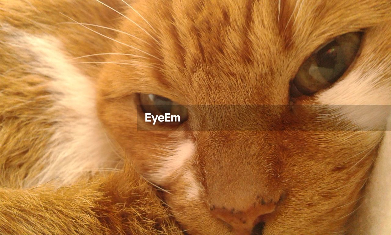 domestic, pets, animal themes, cat, domestic animals, mammal, animal, one animal, domestic cat, feline, close-up, vertebrate, animal body part, animal head, whisker, portrait, looking at camera, no people, eye, animal eye, ginger cat, snout