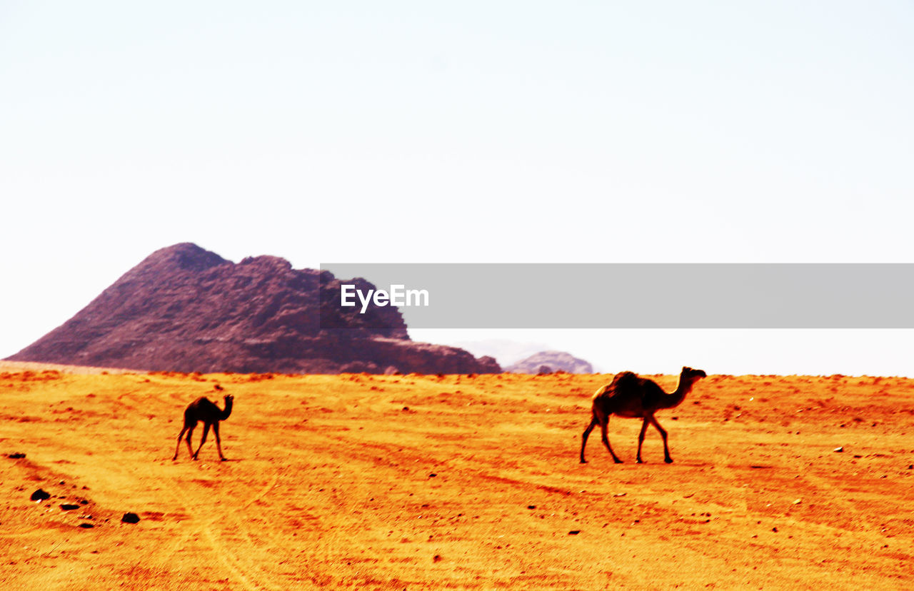 animal themes, domestic animals, clear sky, horse, desert, mammal, nature, sand, walking, landscape, outdoors, day, livestock, full length, sky, arid climate, scenics, beauty in nature, no people