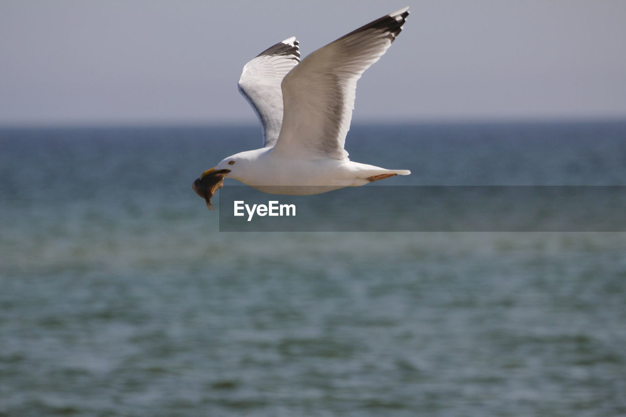 Seagull with dead fish flying over sea