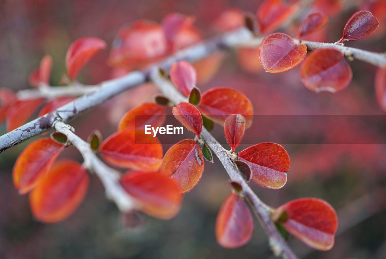 growth, nature, outdoors, beauty in nature, close-up, plant, focus on foreground, day, no people, tree, fruit, leaf, red, freshness, branch, fragility