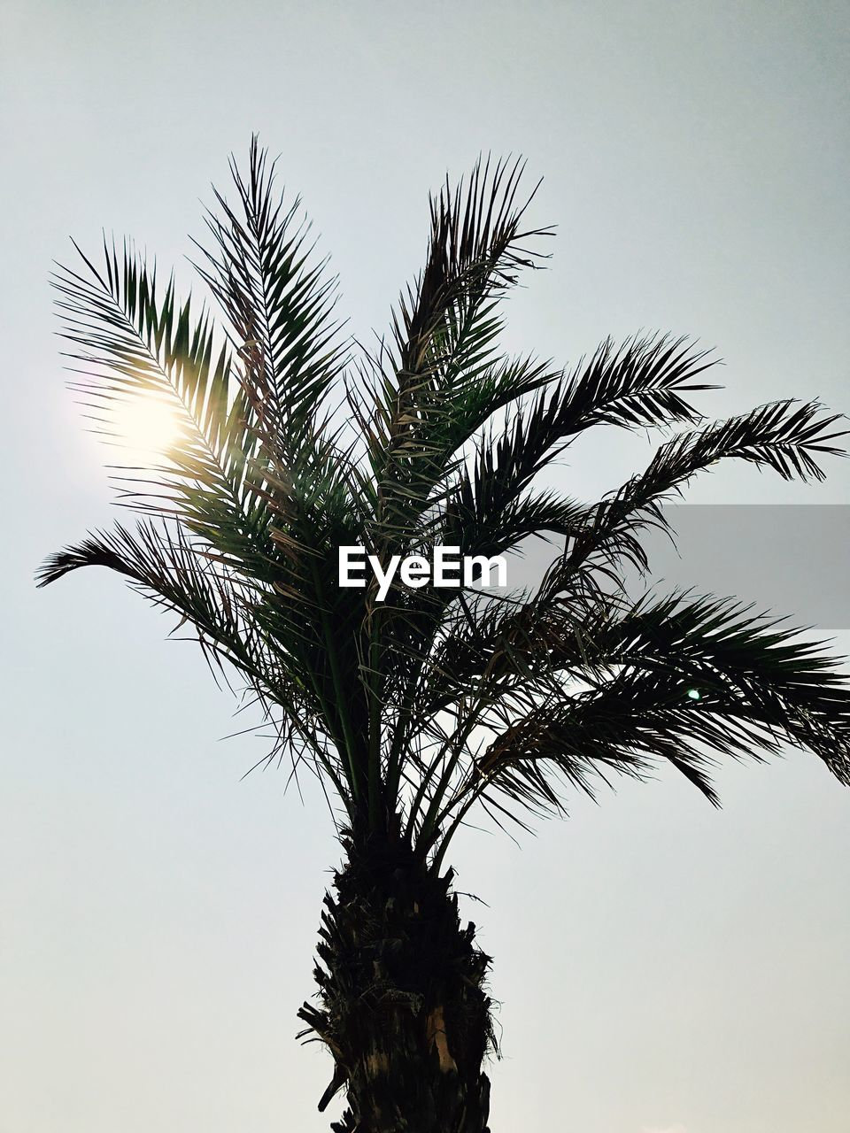 low angle view, tree, palm tree, growth, nature, sky, clear sky, outdoors, palm frond, day, beauty in nature, no people, branch, tree trunk, close-up