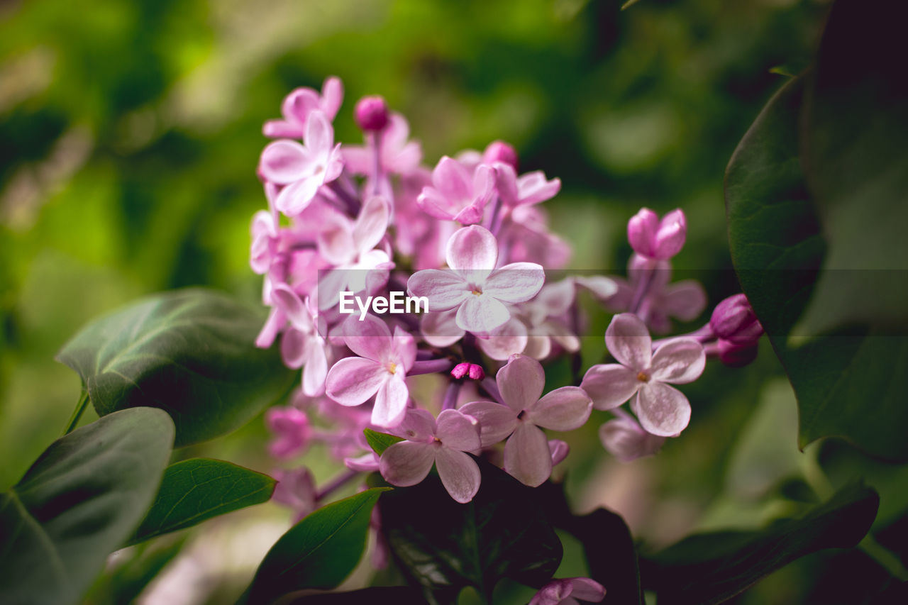 flowering plant, flower, freshness, plant, vulnerability, beauty in nature, growth, fragility, petal, pink color, close-up, plant part, flower head, inflorescence, leaf, day, nature, focus on foreground, no people, selective focus, outdoors, lilac, purple