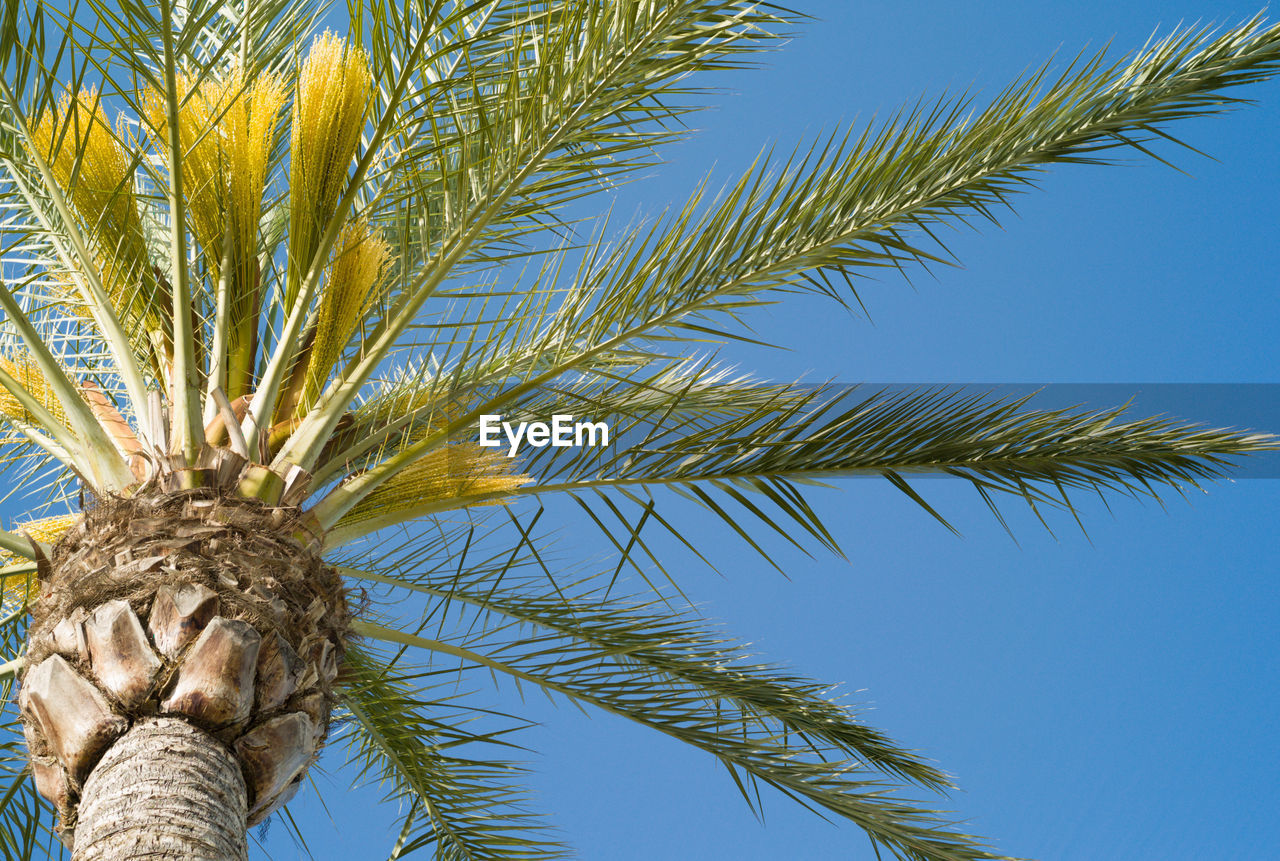palm tree, blue, tree, low angle view, growth, day, nature, outdoors, clear sky, sky, no people, branch, close-up, beauty in nature