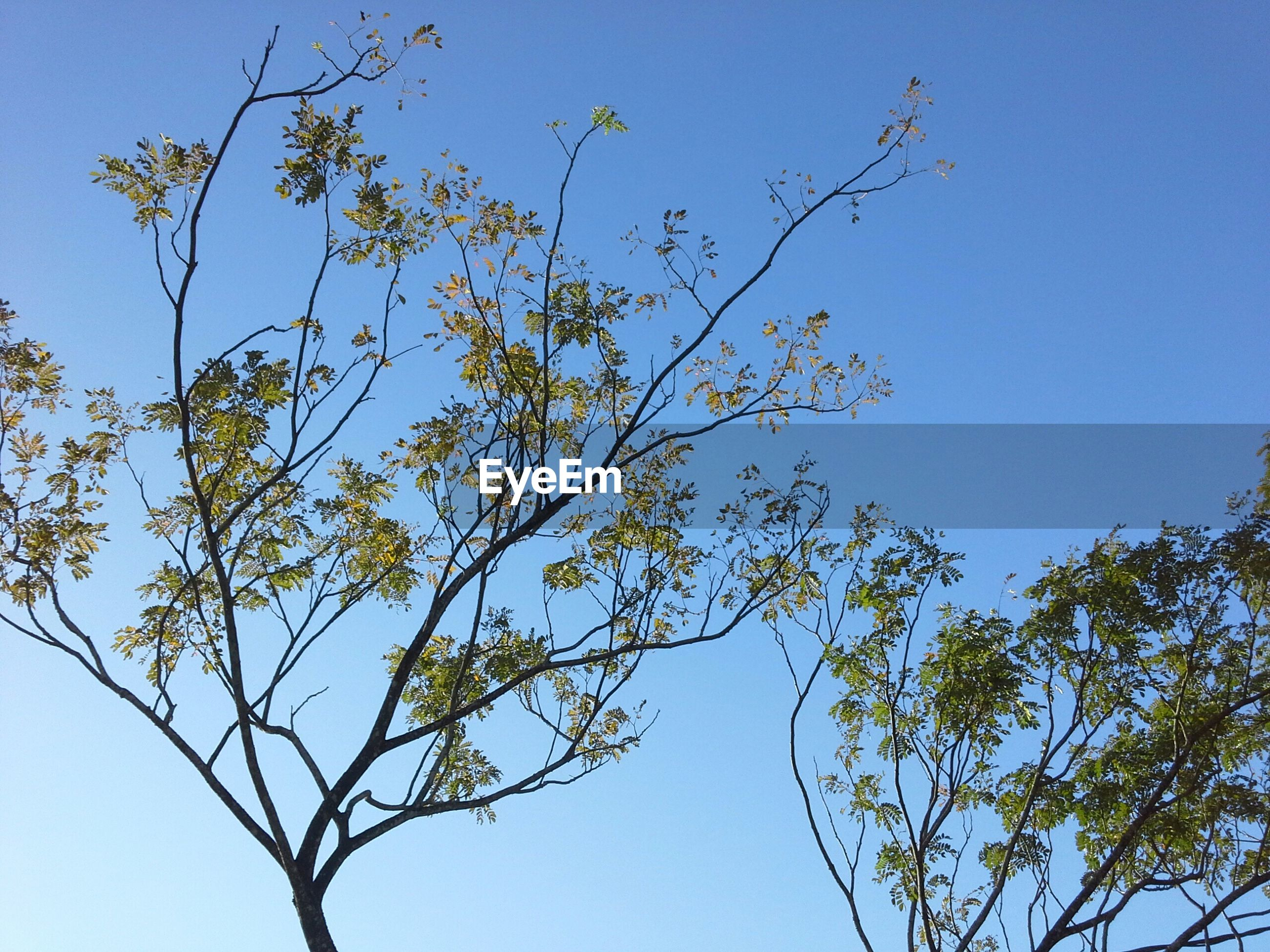low angle view, clear sky, blue, branch, tree, growth, nature, beauty in nature, copy space, tranquility, sky, day, outdoors, no people, high section, twig, leaf, plant, sunlight, scenics