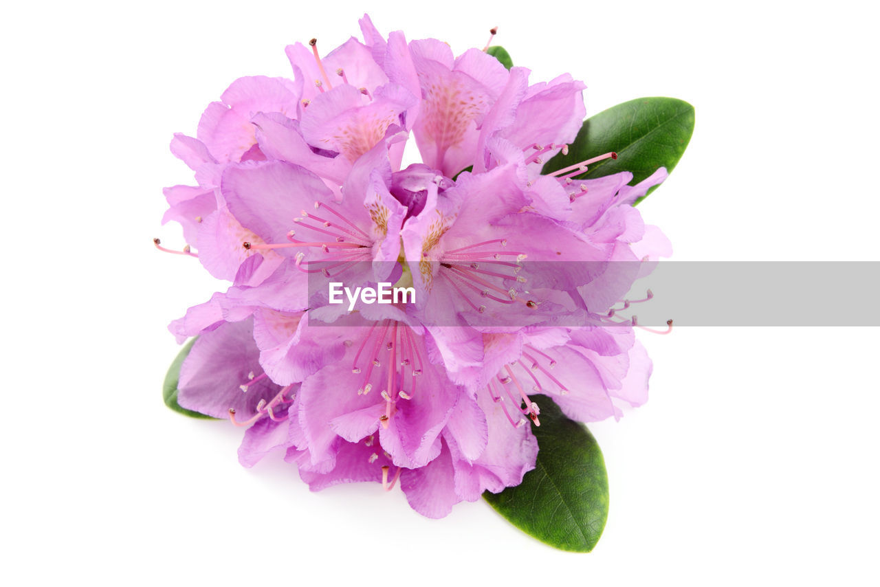 Close-Up Of Purple Flowers Over White Background