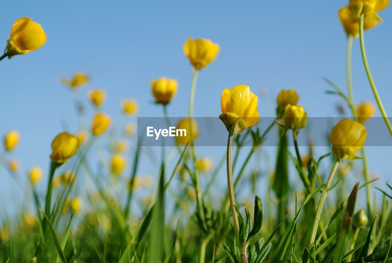 Close-up of yellow buttercups blooming in field