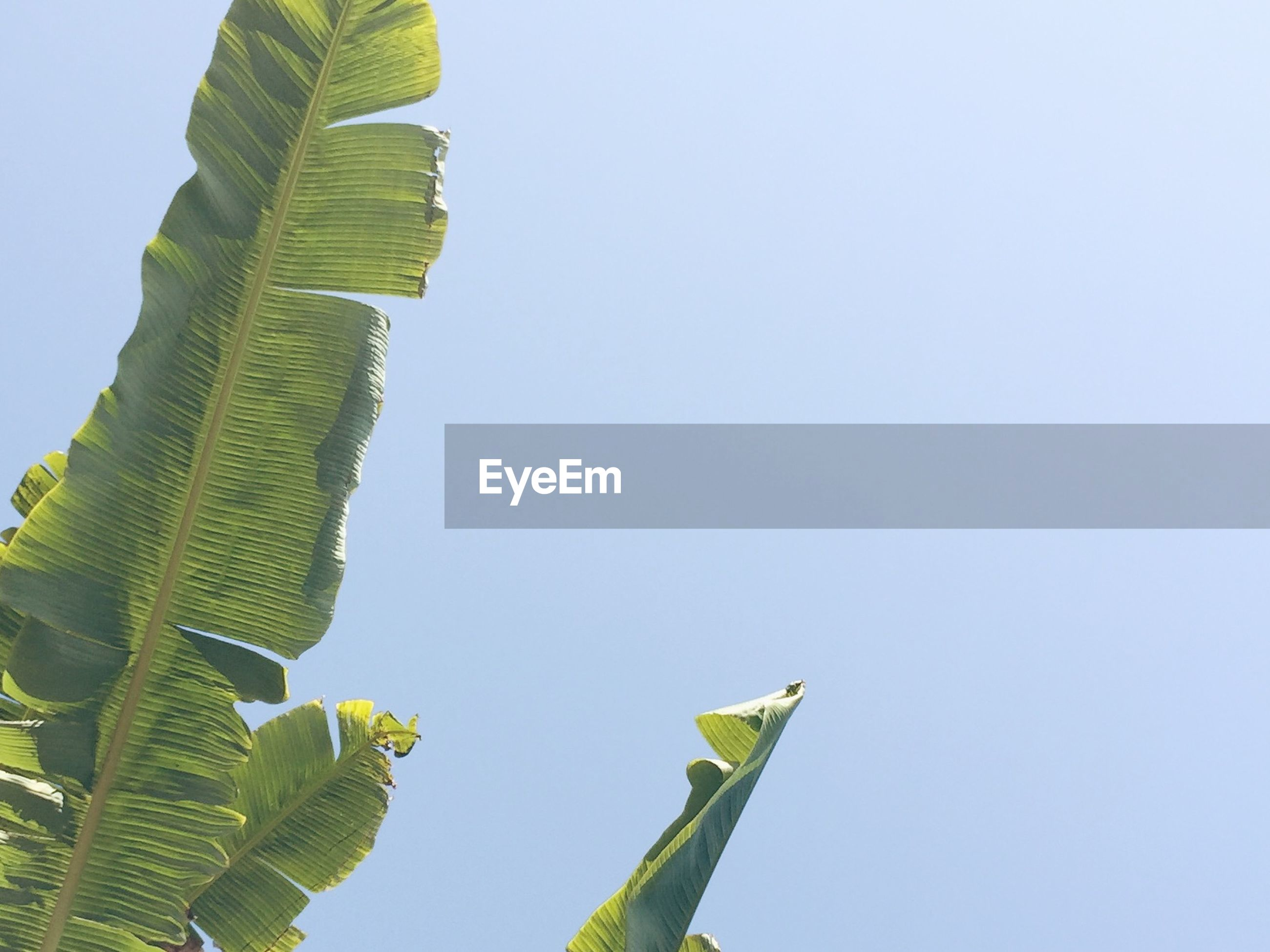 Low angle view of banana tree against clear sky