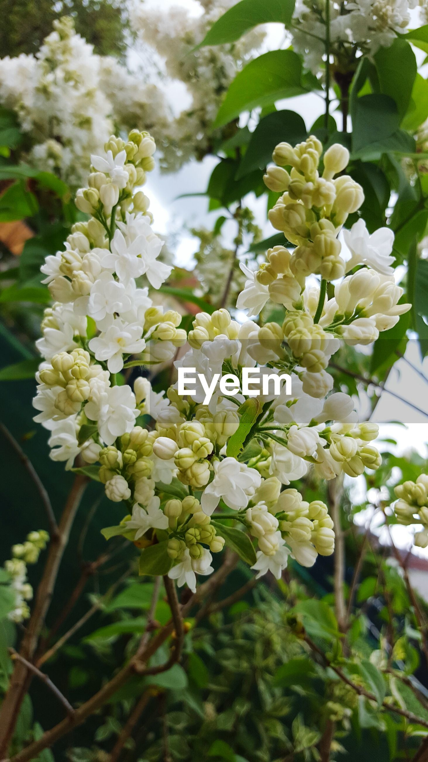 flower, freshness, growth, fragility, white color, petal, beauty in nature, nature, blooming, blossom, flower head, branch, tree, focus on foreground, in bloom, close-up, plant, springtime, leaf, day